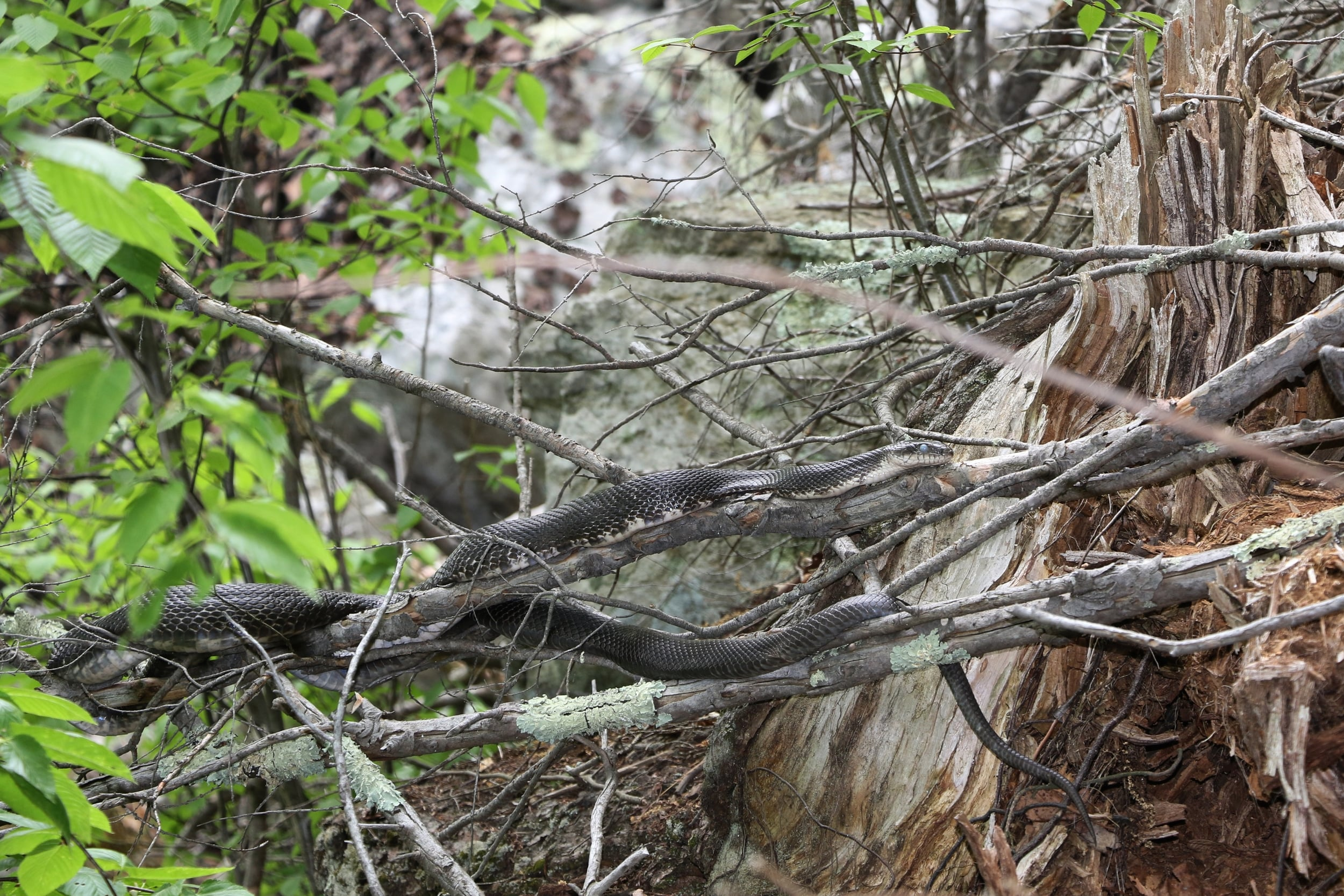 Black Ratsnake - I've been seeing this snake for a few years now. I've never touched her but have gotten one of her sheds two years ago that measured over seven feet. I'd love to know her full length, but I'll leave her be.