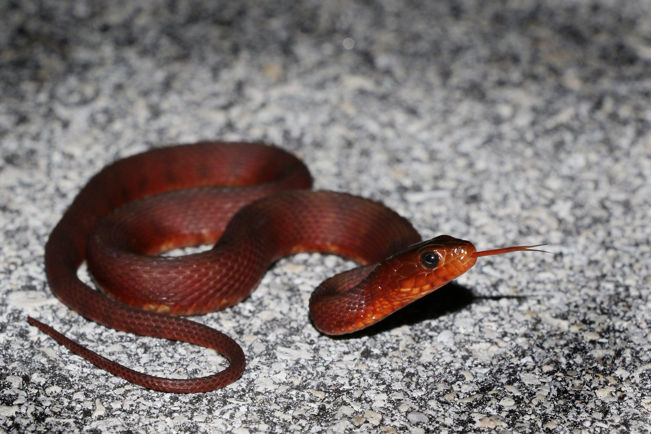 Mangrove Saltmarsh Snake - These can variable and stunning.