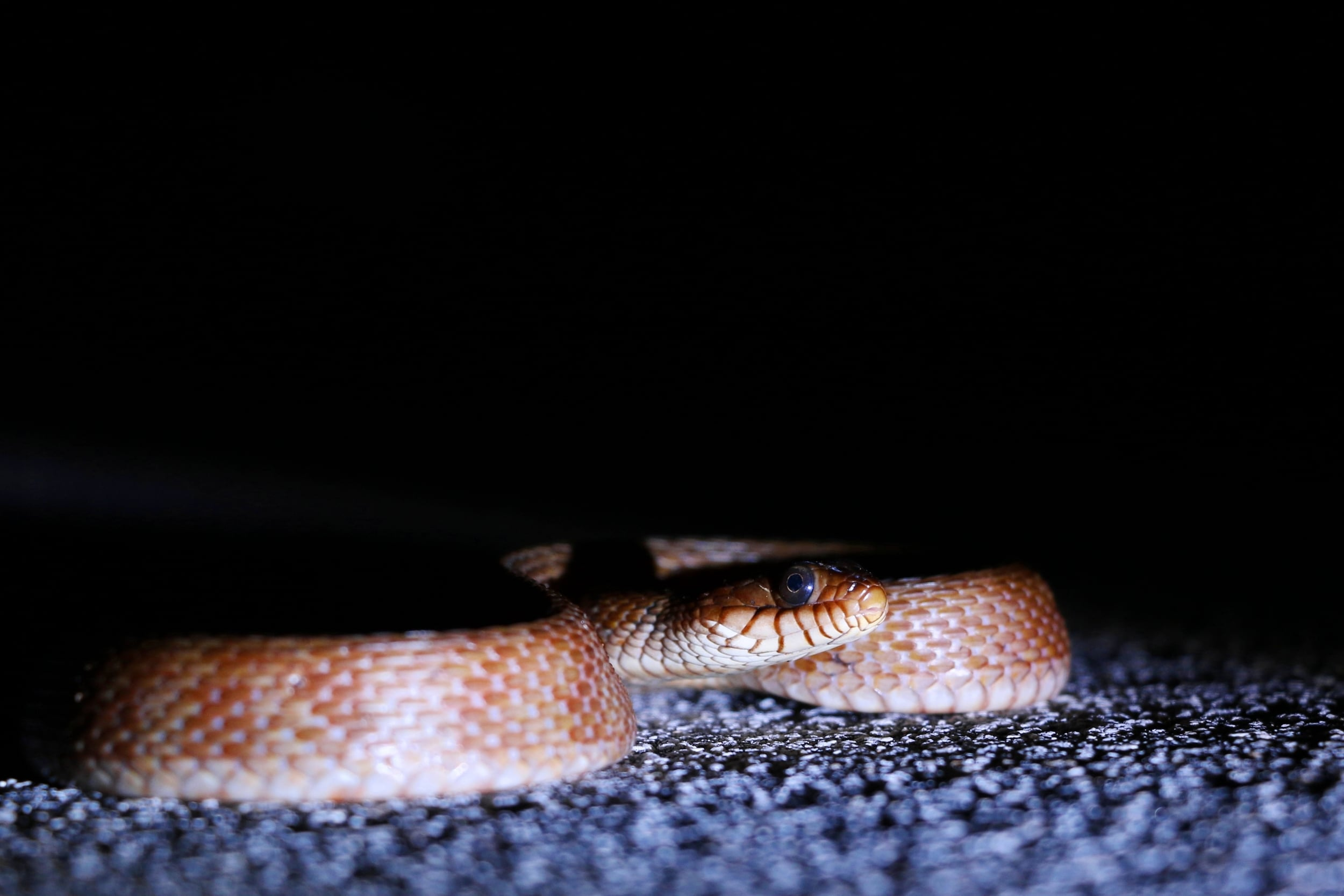 Mangrove Saltmarsh Snake - Here was a different colored individual. I regret not getting better photos of others.