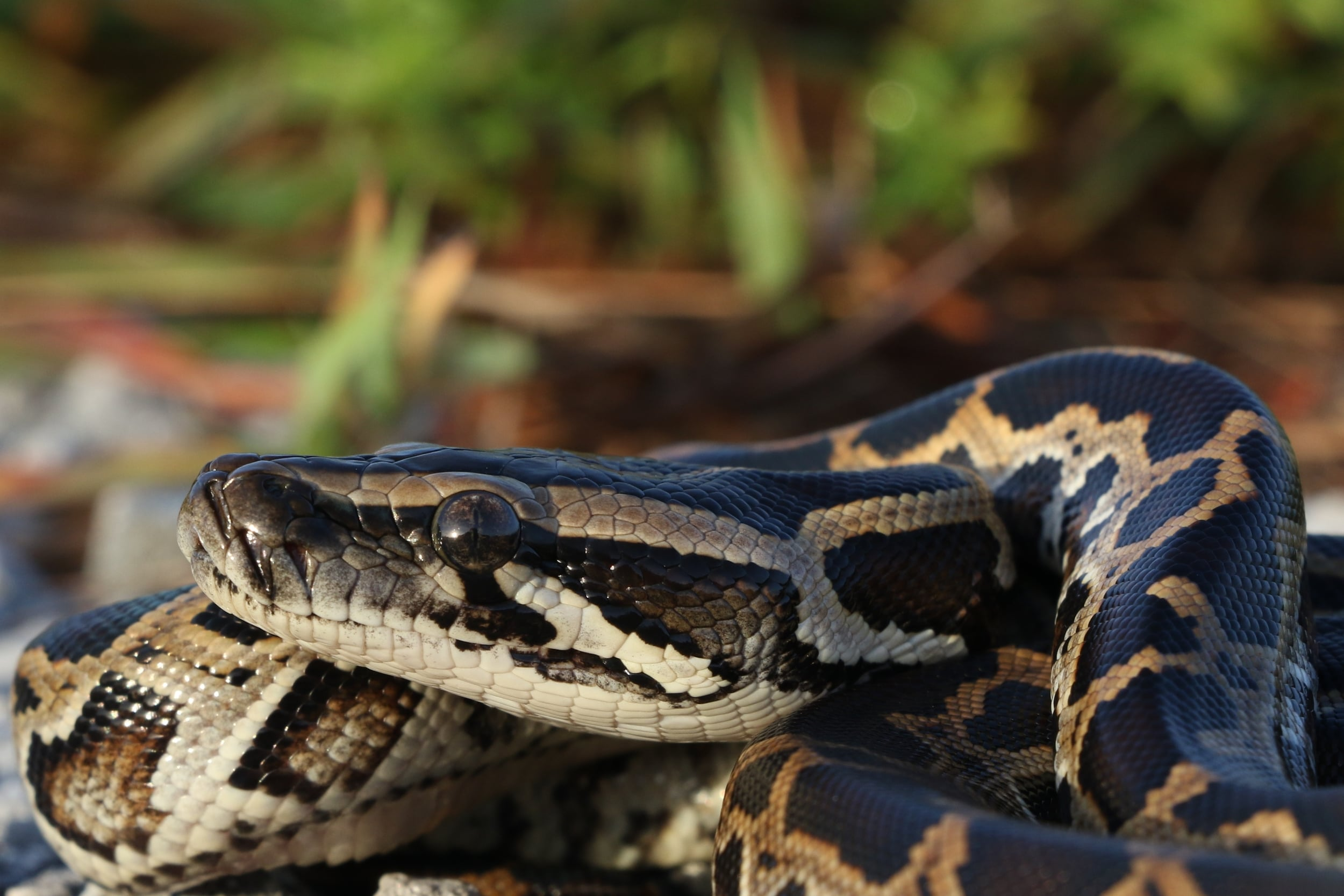 Burmese Python - One of the four we saw. The first one was roadcruised and honestly, if it weren't for my son I would not have seen it. Invasive, but beautiful animals. This blog isn't about what's right and wrong. ...just the snakes I saw.