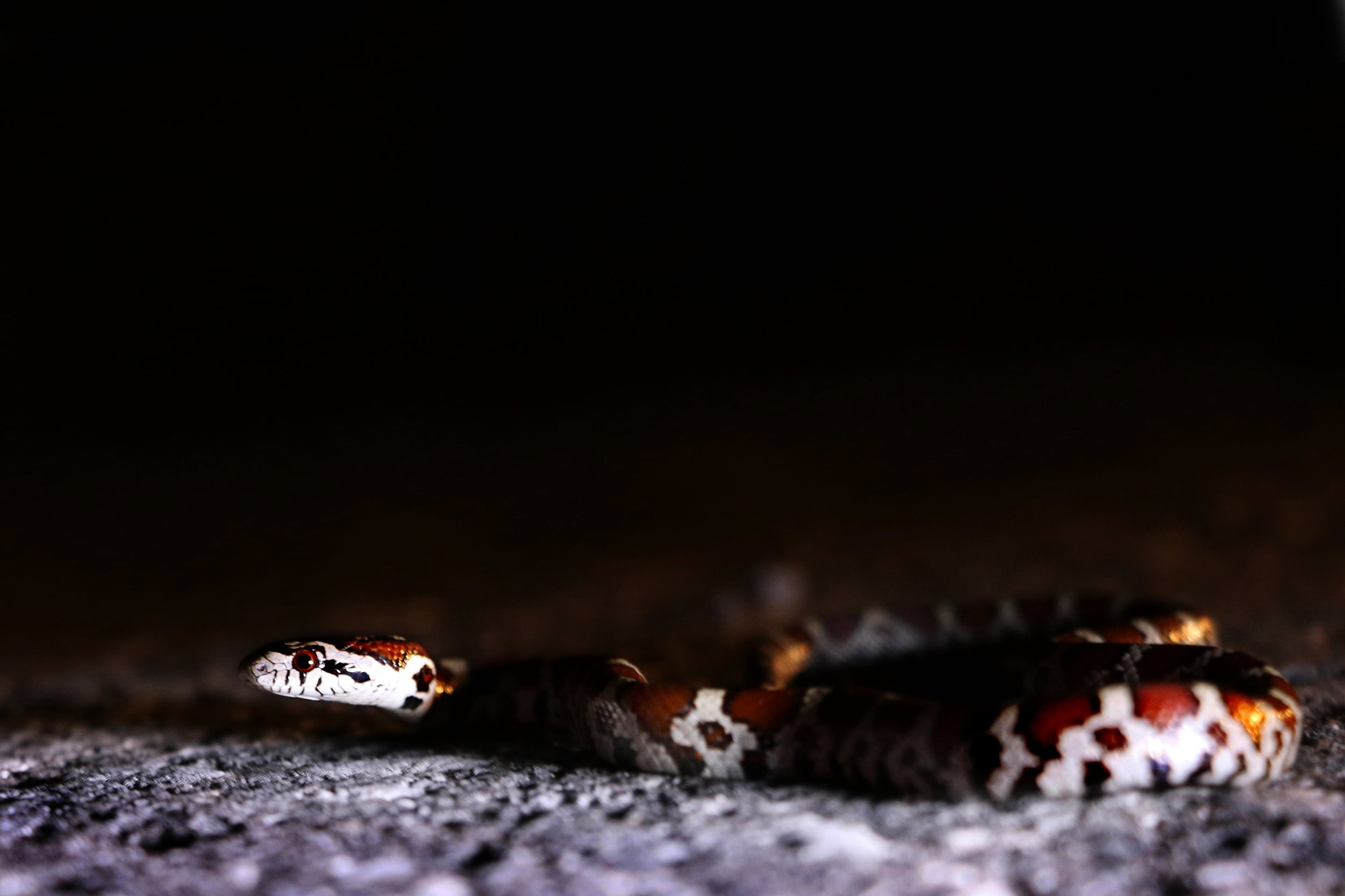 Eastern Milksnake - I cruised this guy in South Central PA on a warm July night.