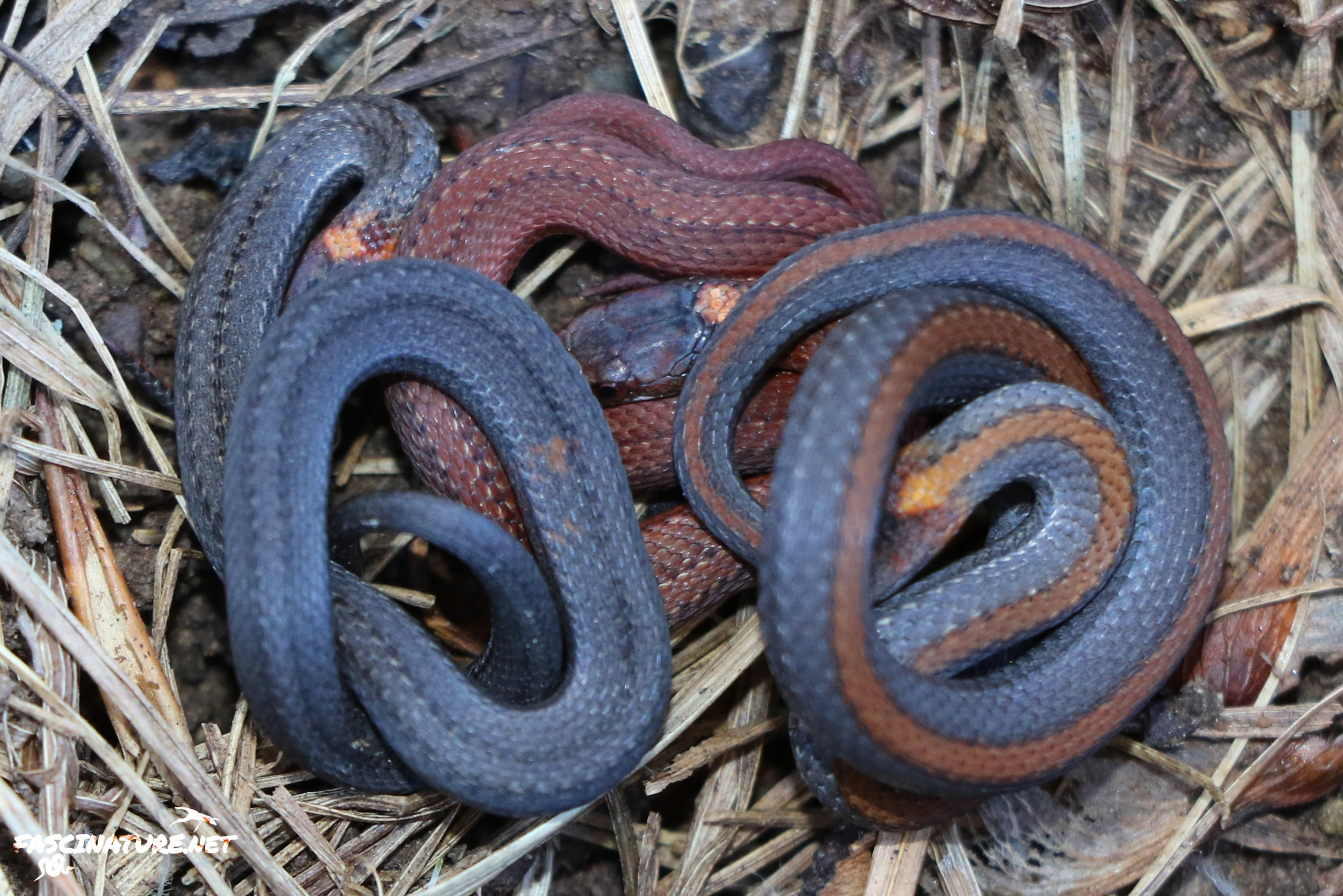 """Northern Red-bellied Snake - As I said... plentiful. This shot of three different variations was """"as flipped"""" all under one rock."""