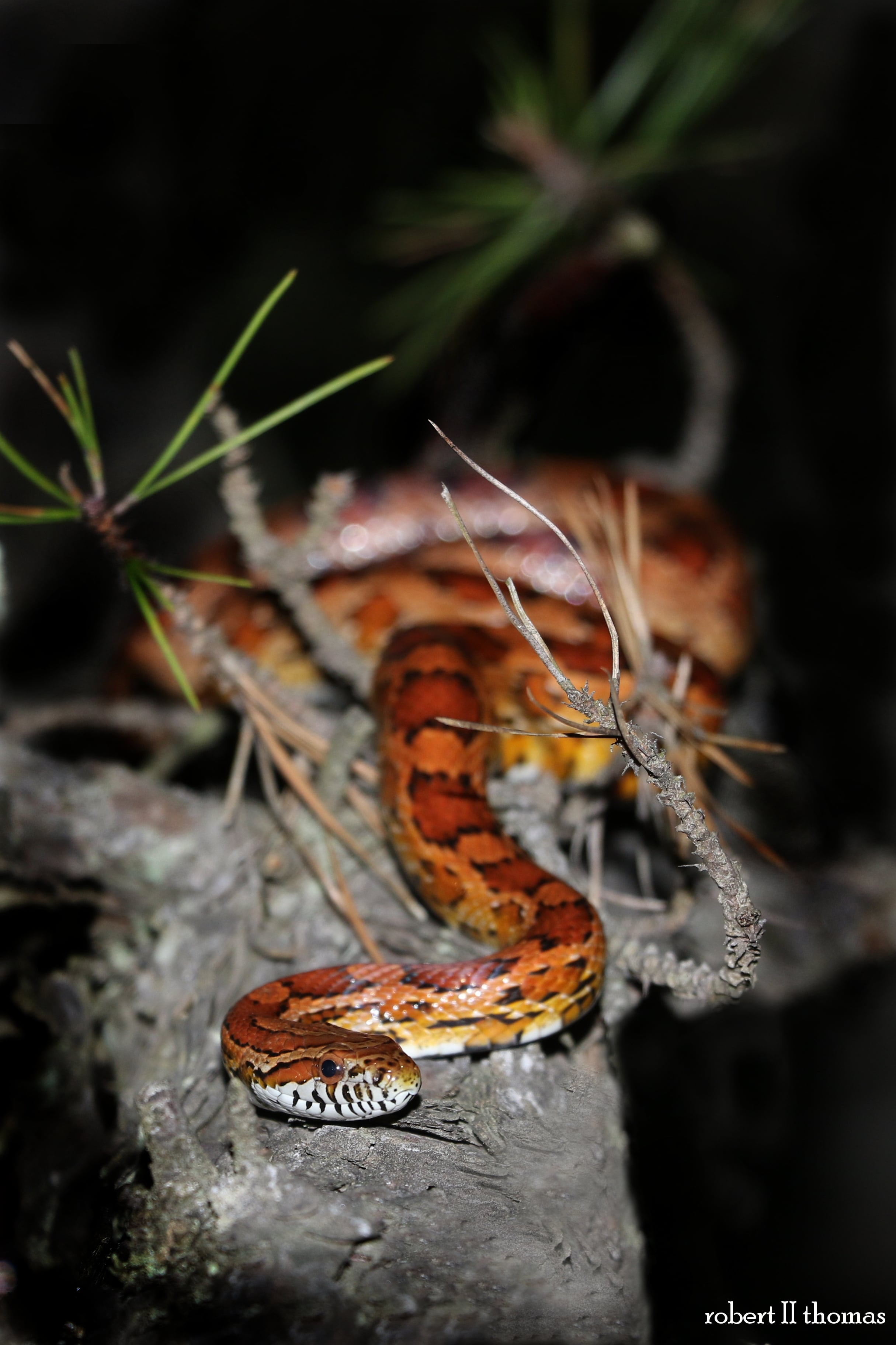Red Cornsnake - I promise they won't all be at night.
