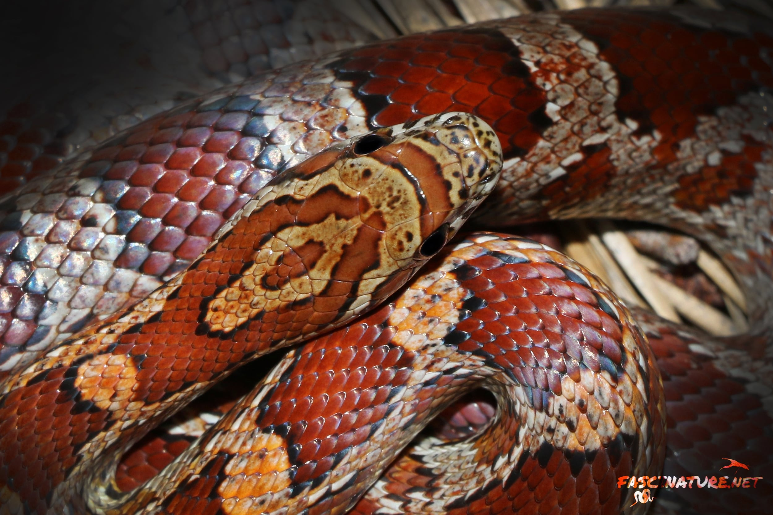 Red Cornsnake - Ok, maybe they won't all be at night.