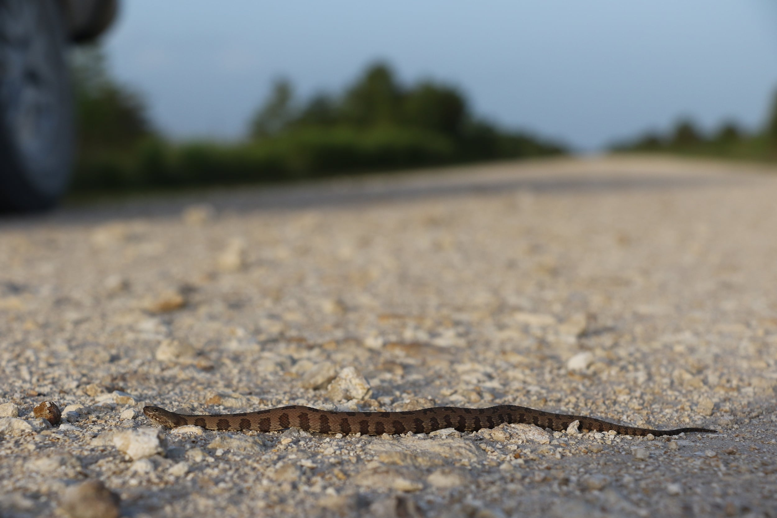 Brown Watersnake - This was cruised in Florida, interestingly about 20 feet from a cottonmouth on the road as well.
