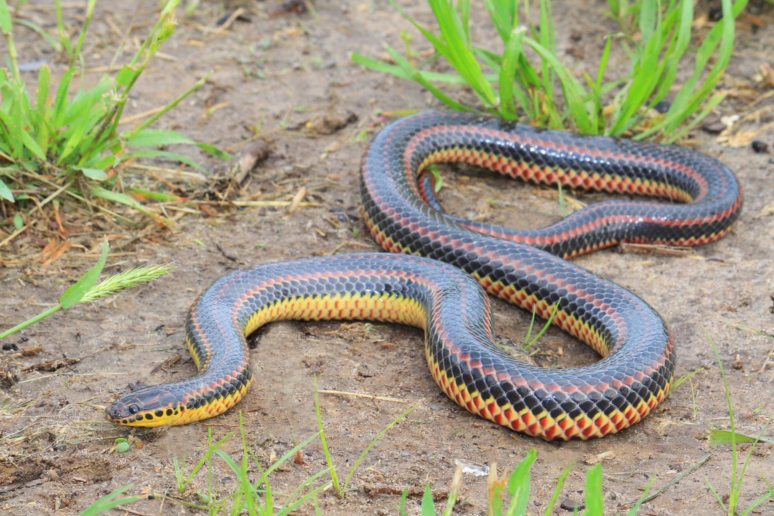 Common Rainbow Snake