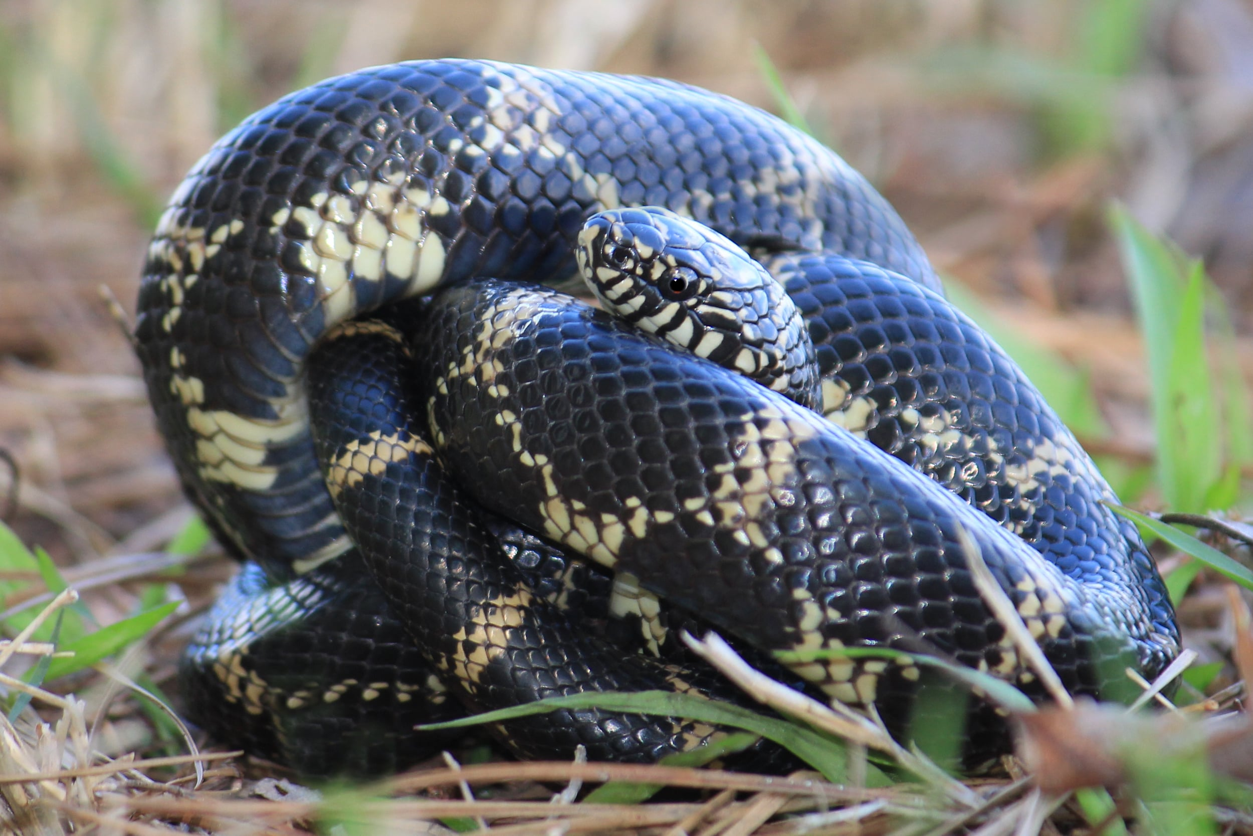 Eastern Kingsnake - This individual was walked up on Lily's trip to VA/NC.