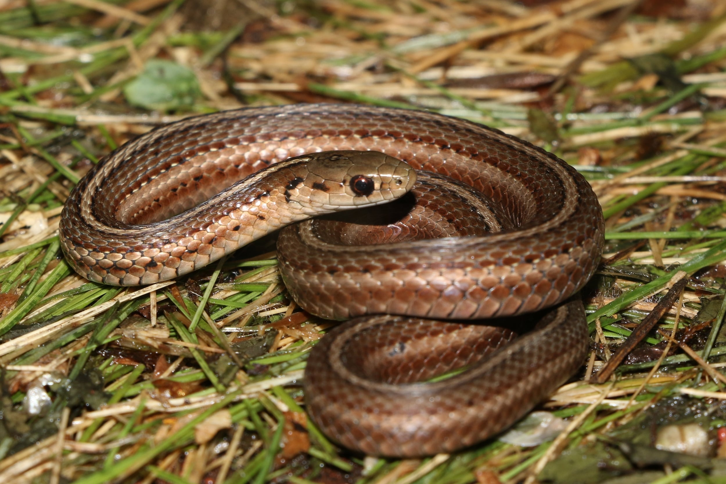 Short-headed Gartersnake - This was a sub-adult.