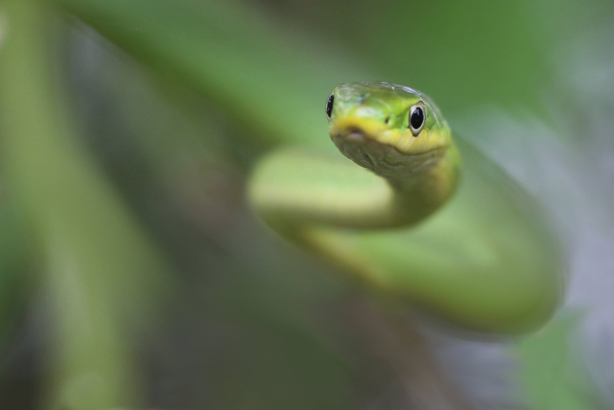 Rough Greensnake - I found this guy hanging out in the vegetation during the day . He didn't know it, but he'd become one of my favorite photos of the year.