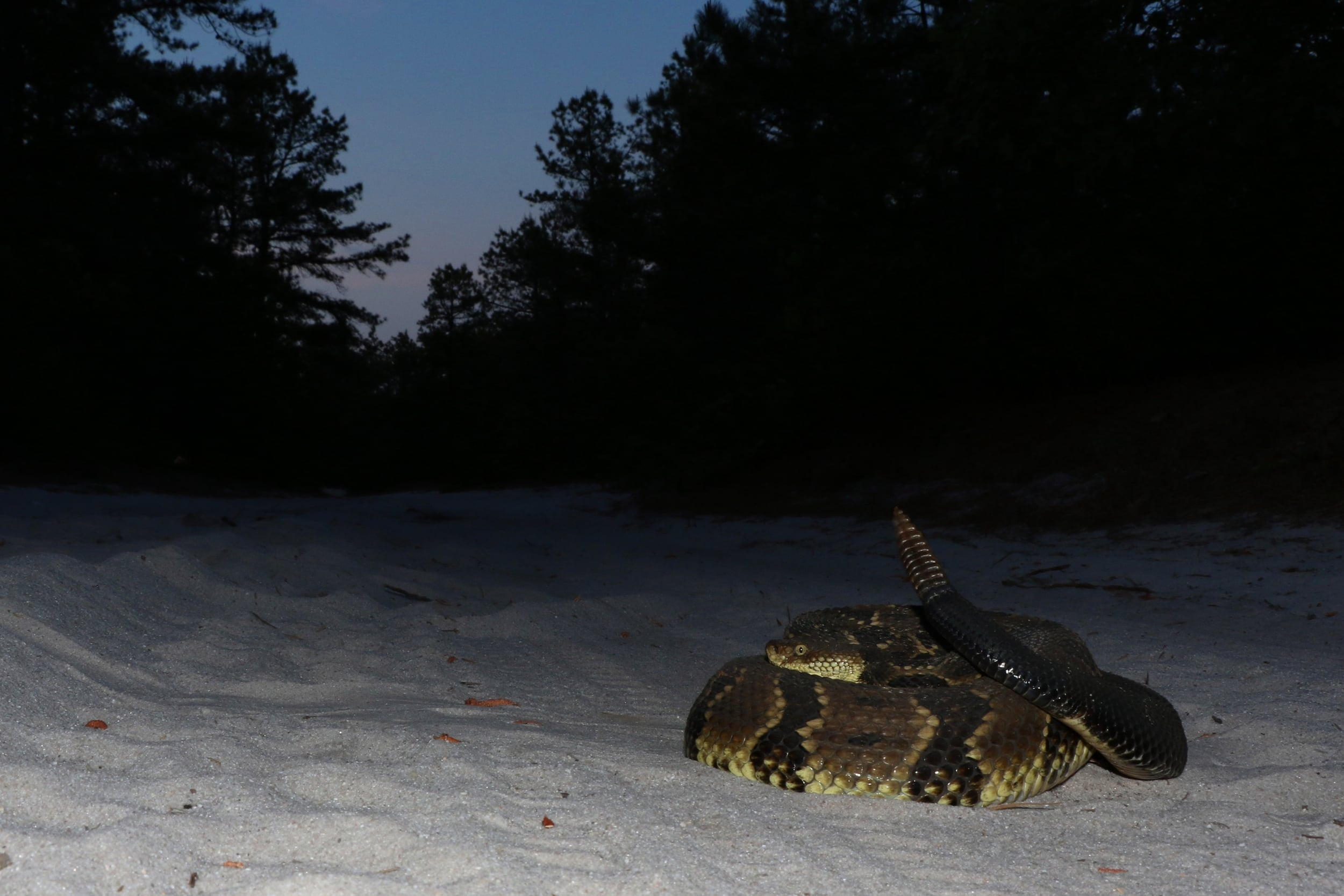 Timber Rattlesnake - This big adult was cruised by some friends and I had happened to be heading in that direction, so they hung out with it for five minutes so I could see her.
