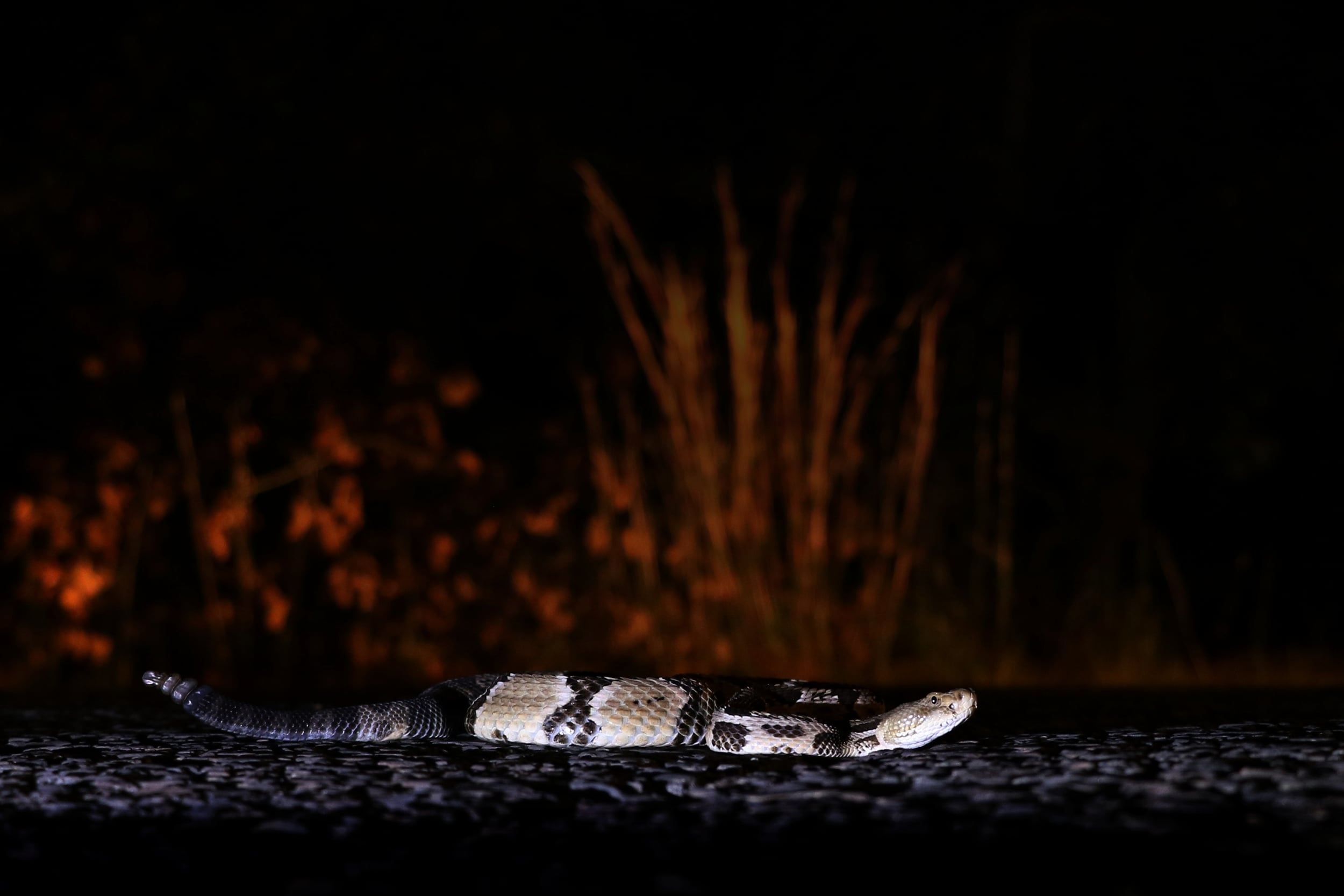 Timber Rattlesnake - Another successful barrens cruise. I believe I cruised four this year!
