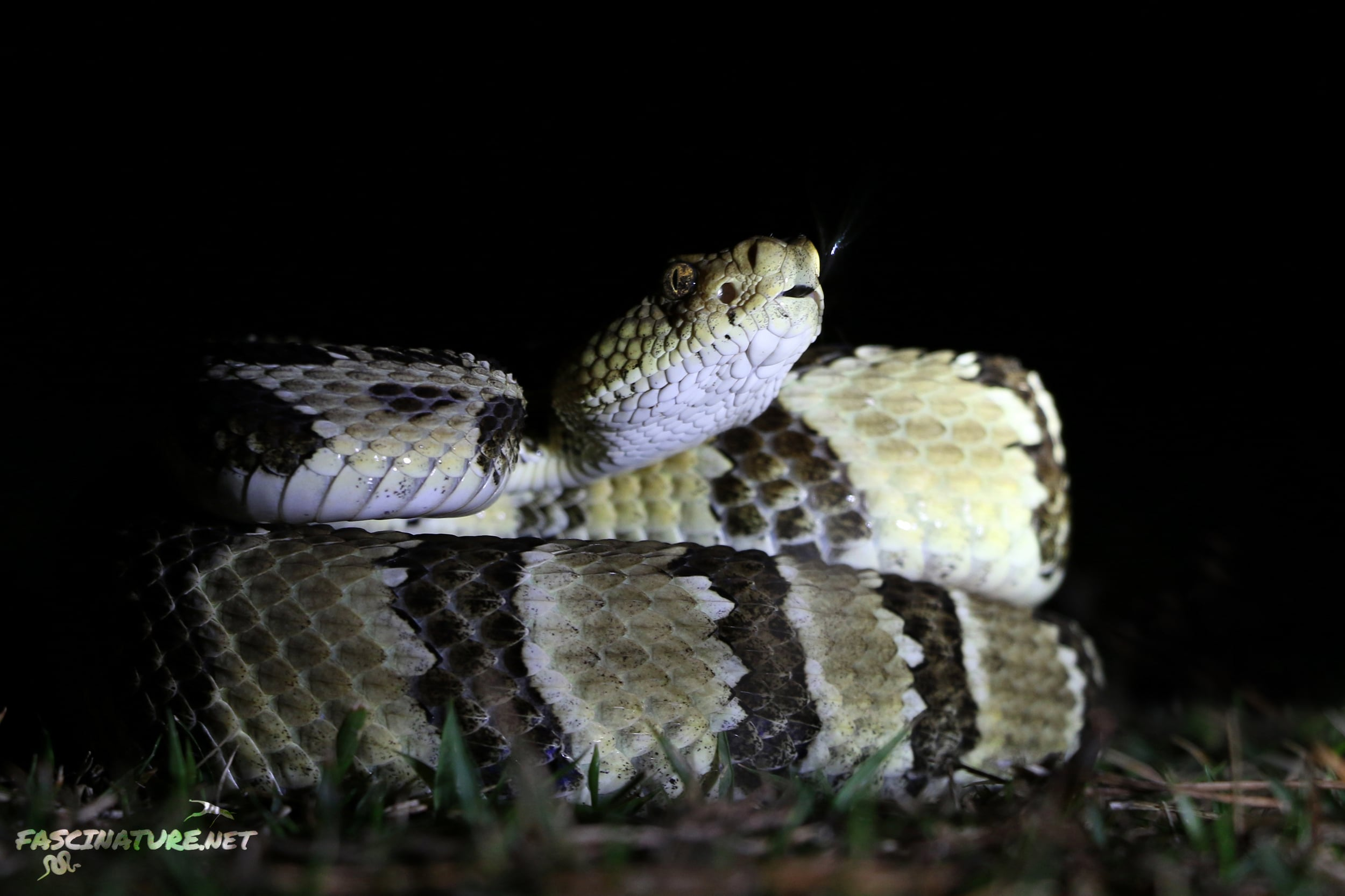 Timber Rattlesnake - My last timber of the year came in October and was the best looking barrens specimen I have ever encountered.