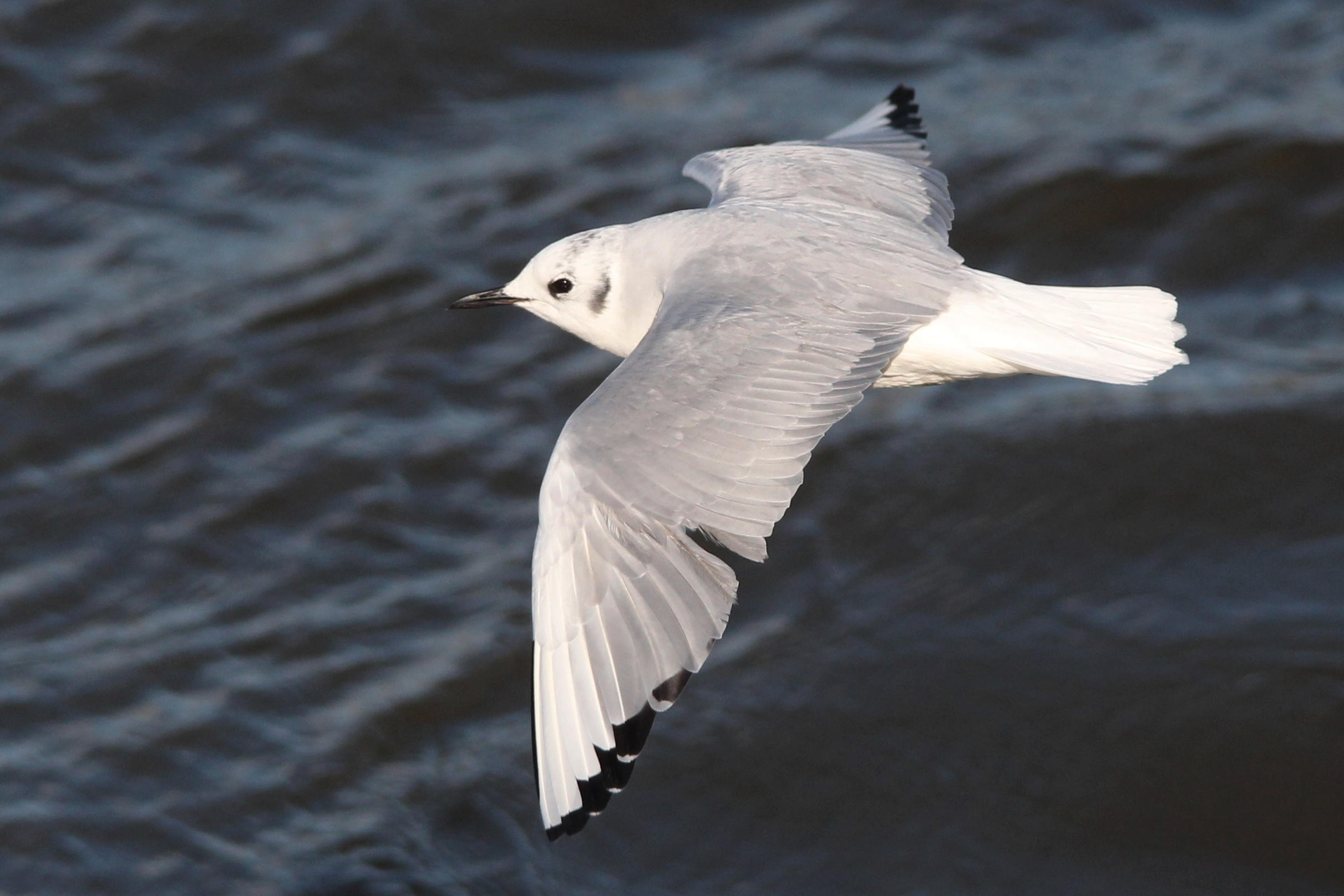 Bonaparte's Gull - (From another time... the two that we saw didn't come in close.)