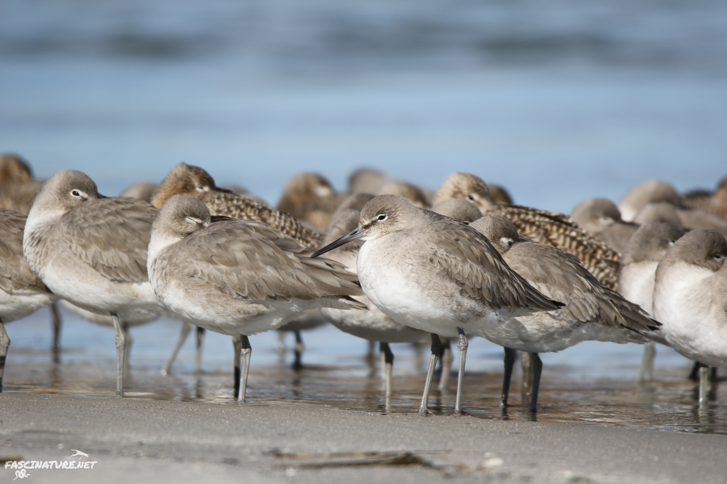 Western Willets and Marbled Godwits