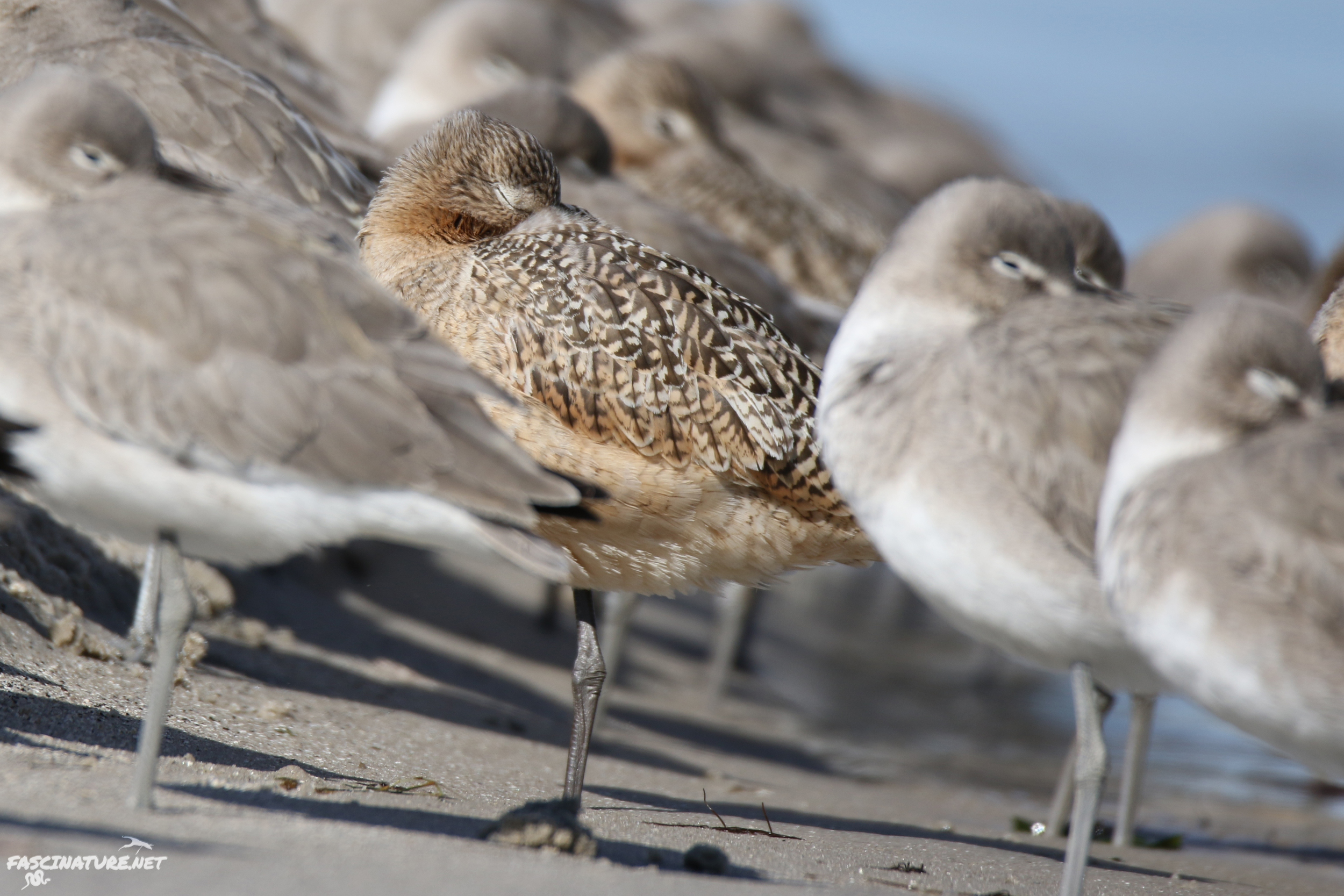 Sleeping Marbled Godwit