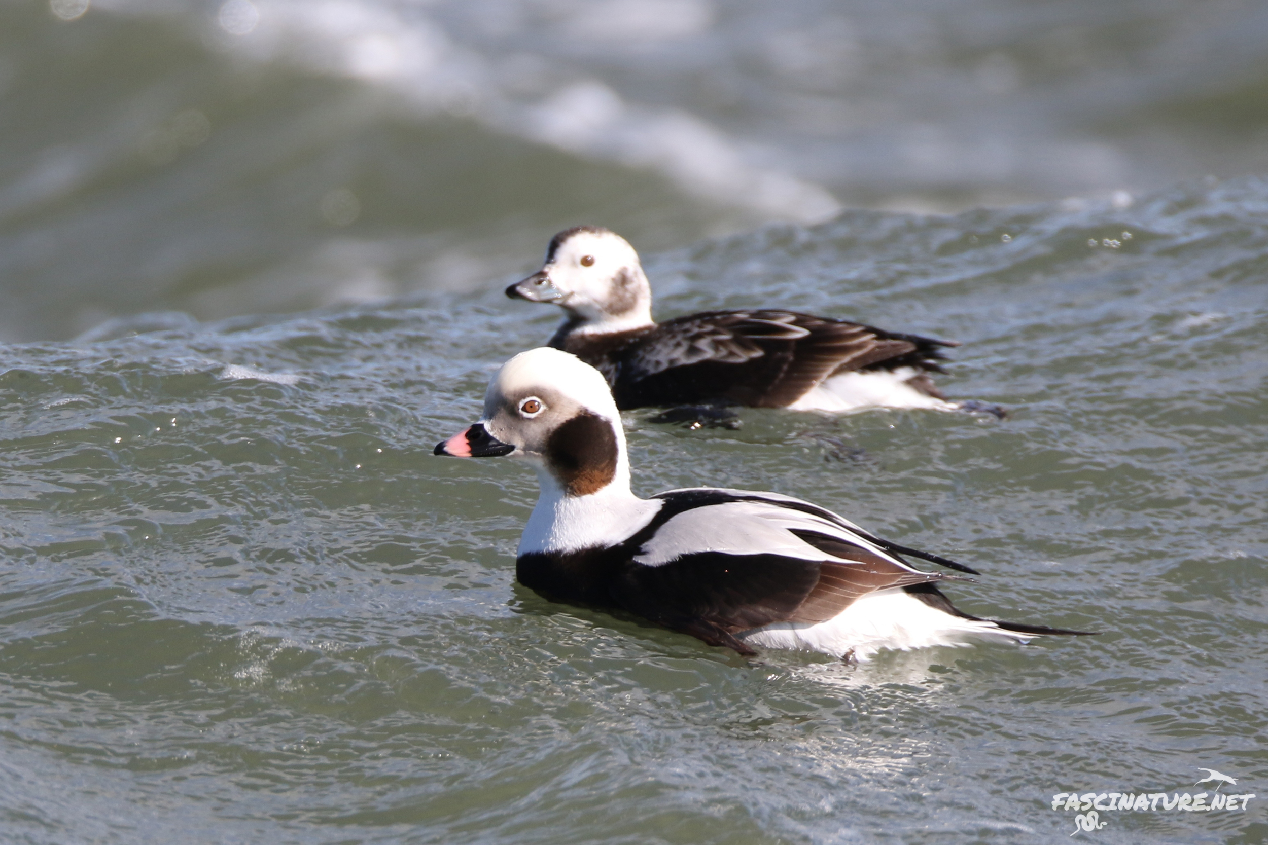 Long-tailed Ducks (drake and hen)