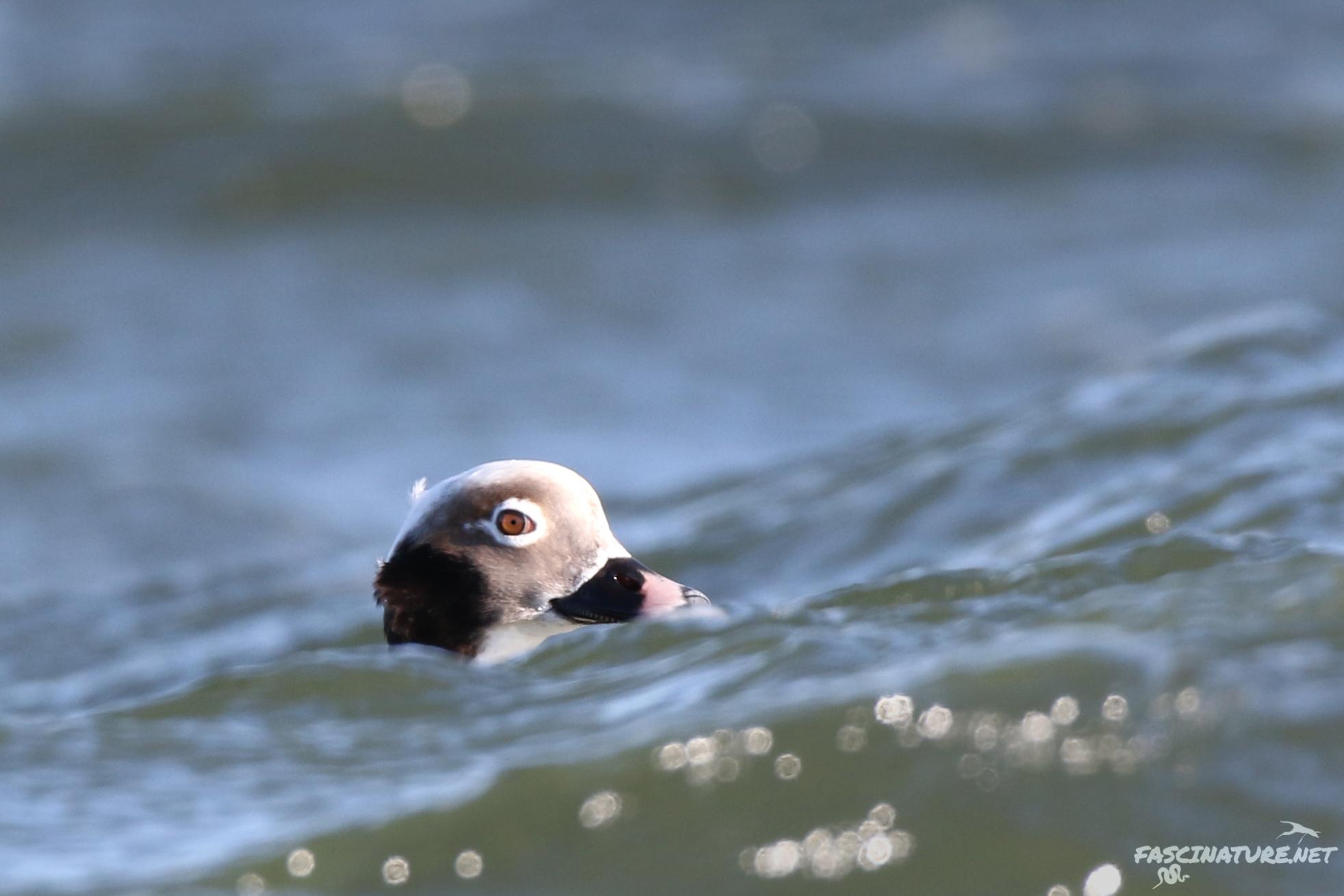 fascLong-tailed Duck (1).jpg