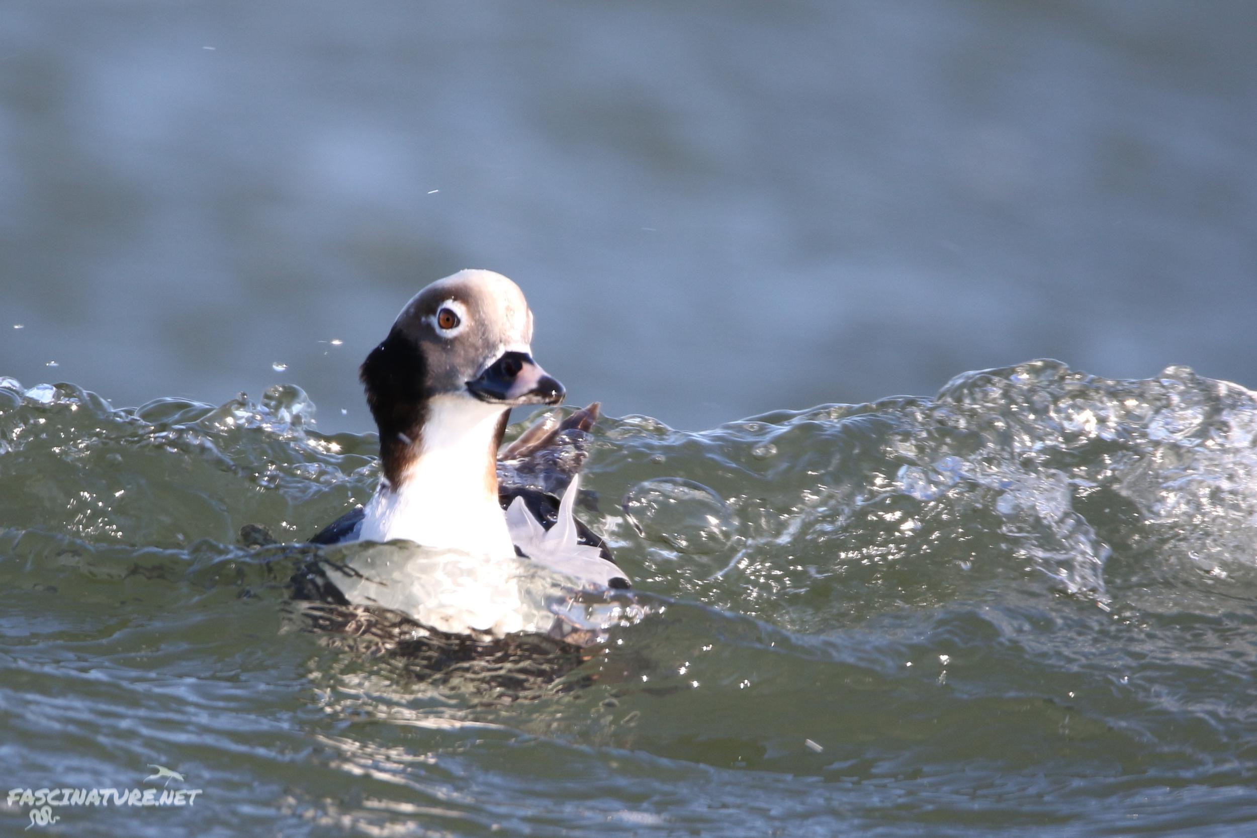 fascLong-tailed Duck (2).jpg