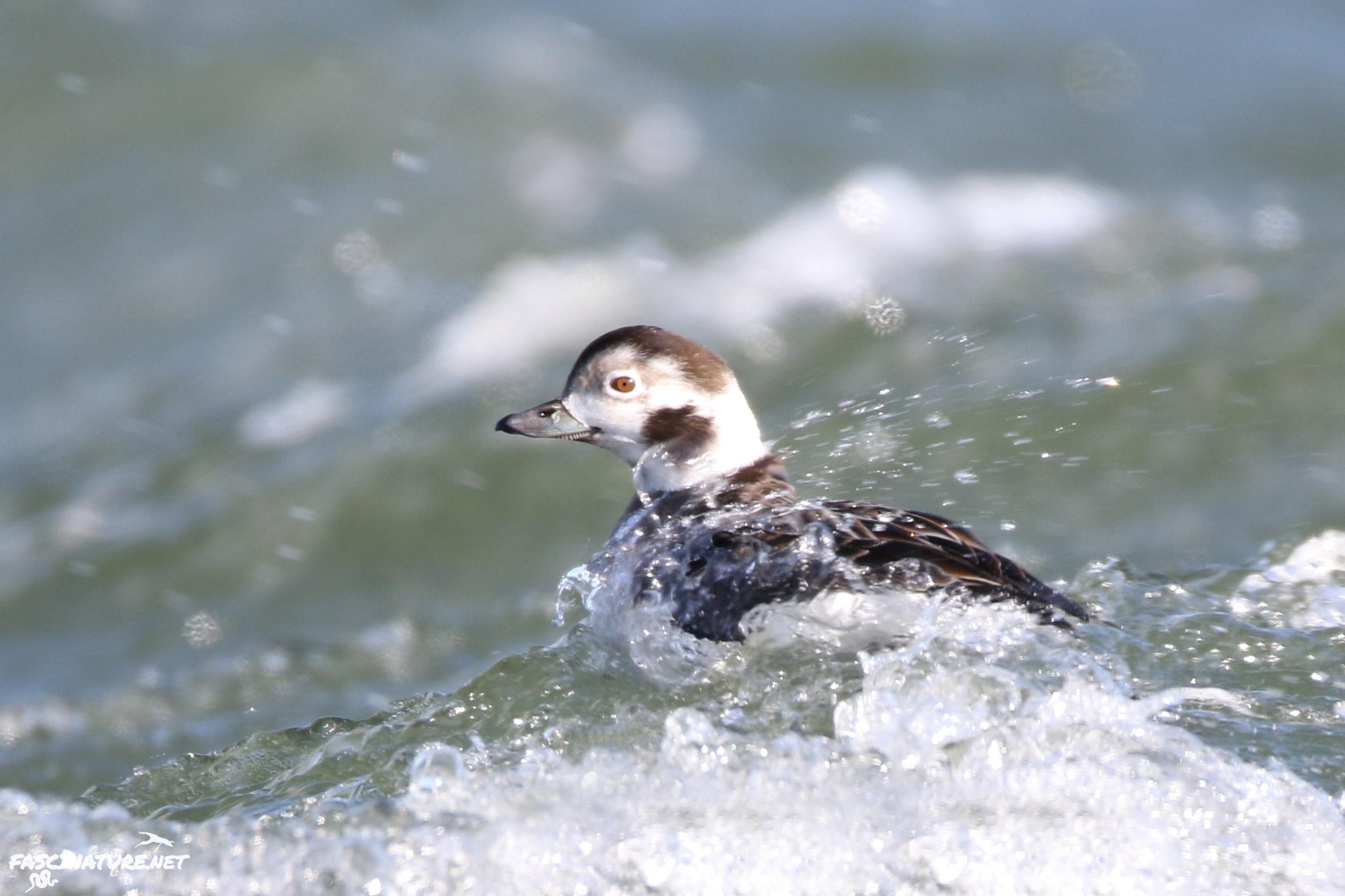 fascLong-tailed Duck (4).jpg