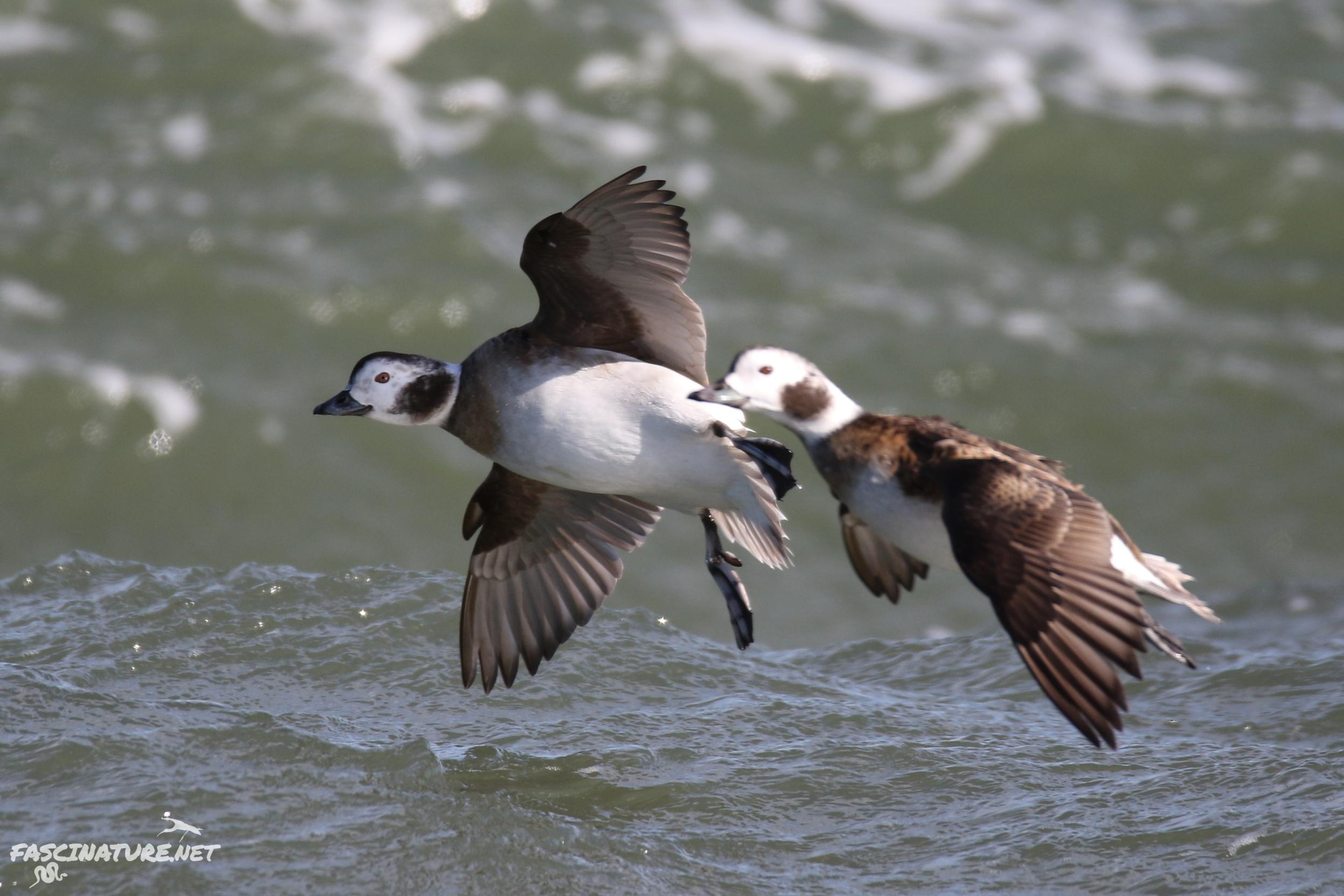 fascLong-tailed Duck (6).jpg