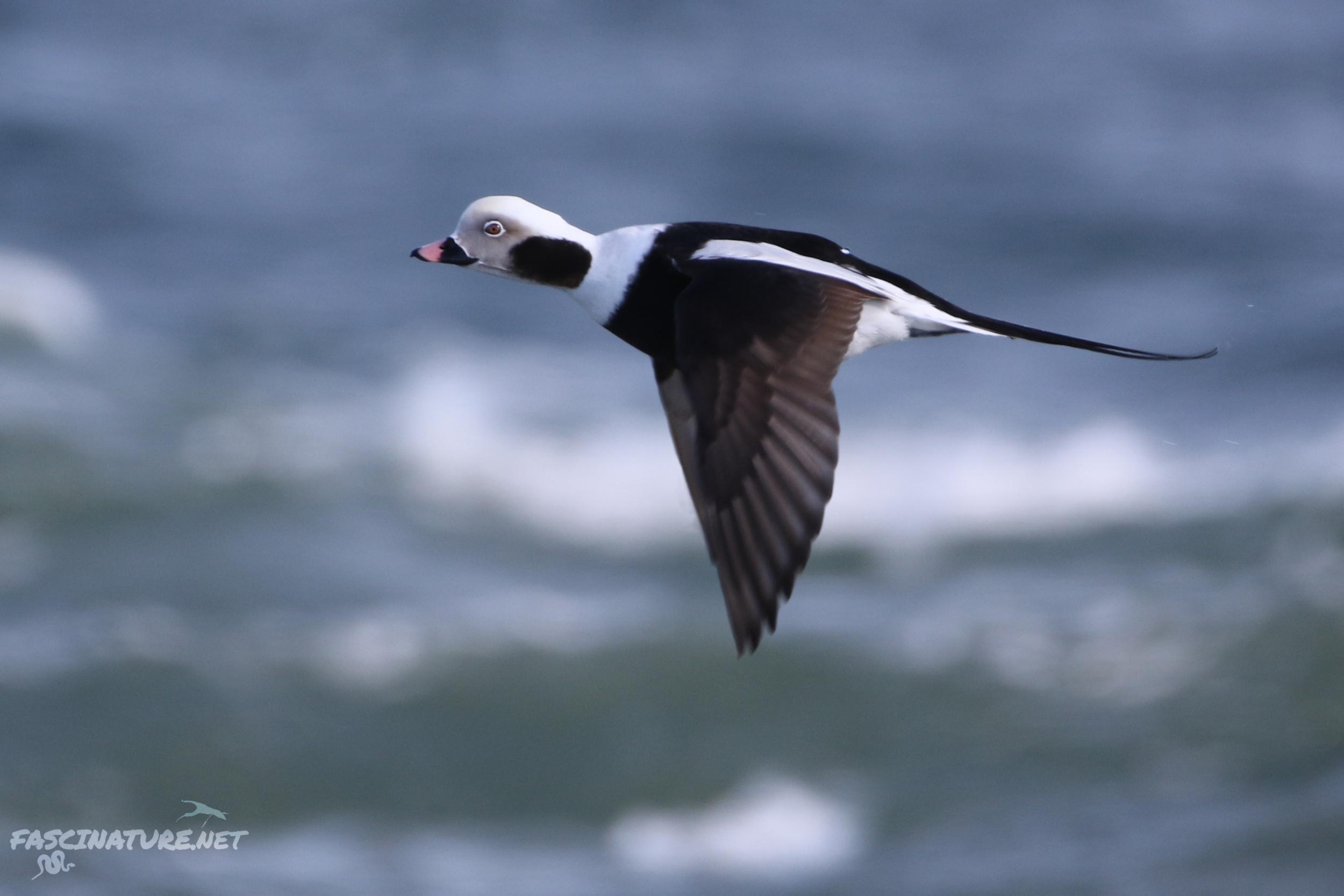 fascLong-tailed Duck (10).jpg