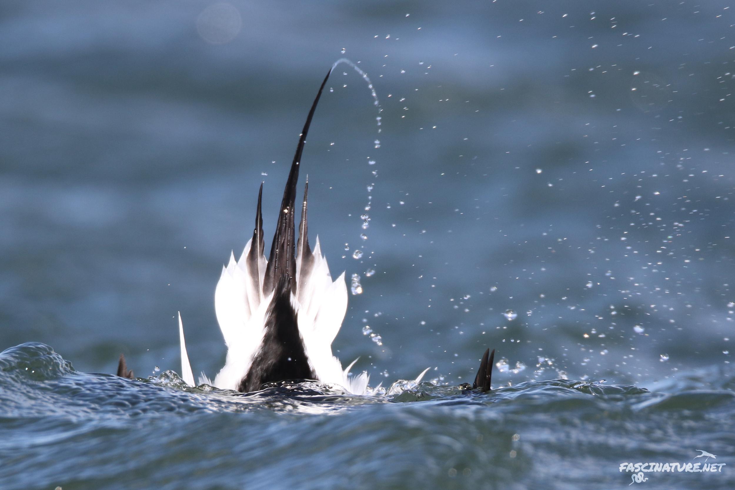 fascLong-tailed Duck (11).jpg