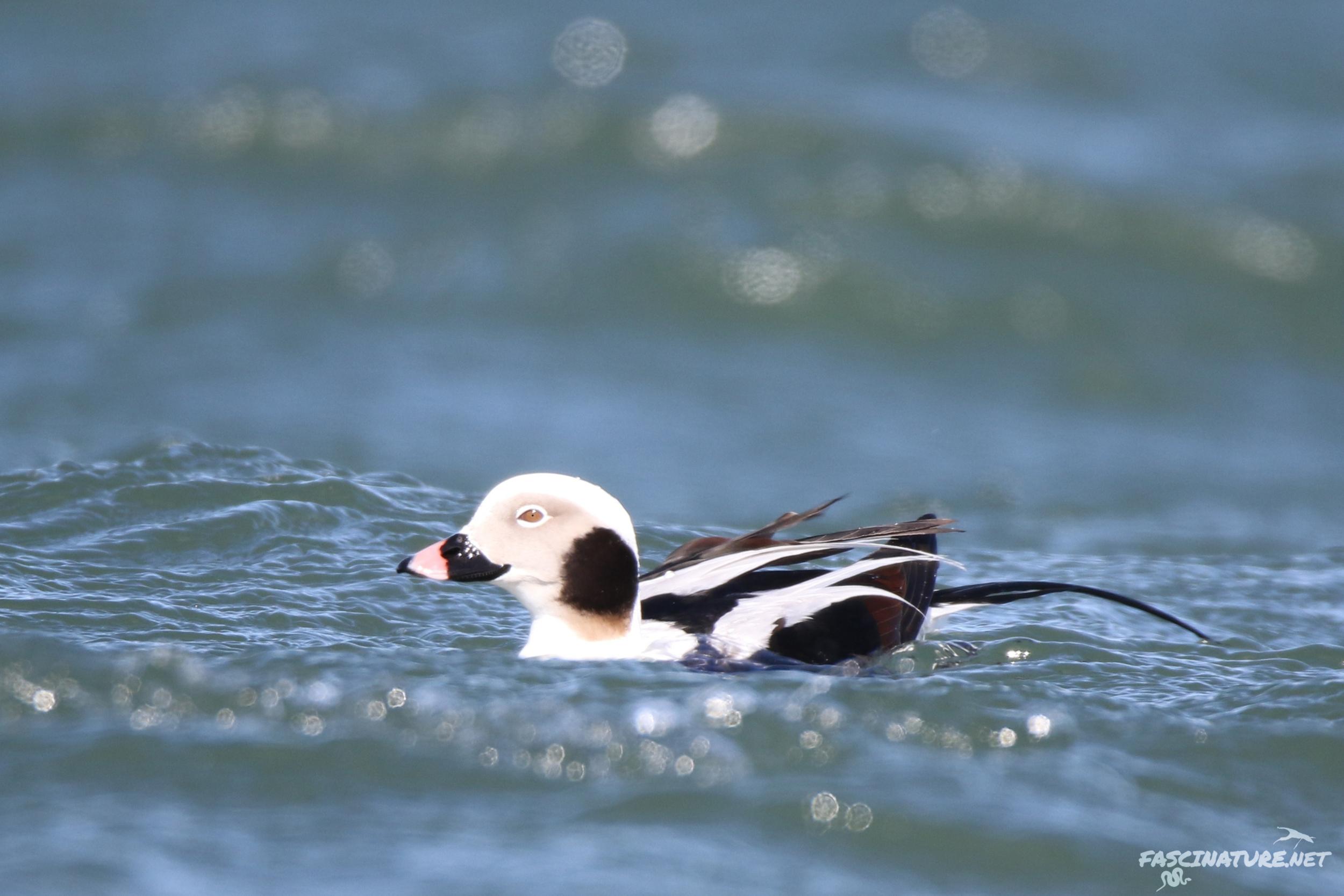fascLong-tailed Duck (13).jpg
