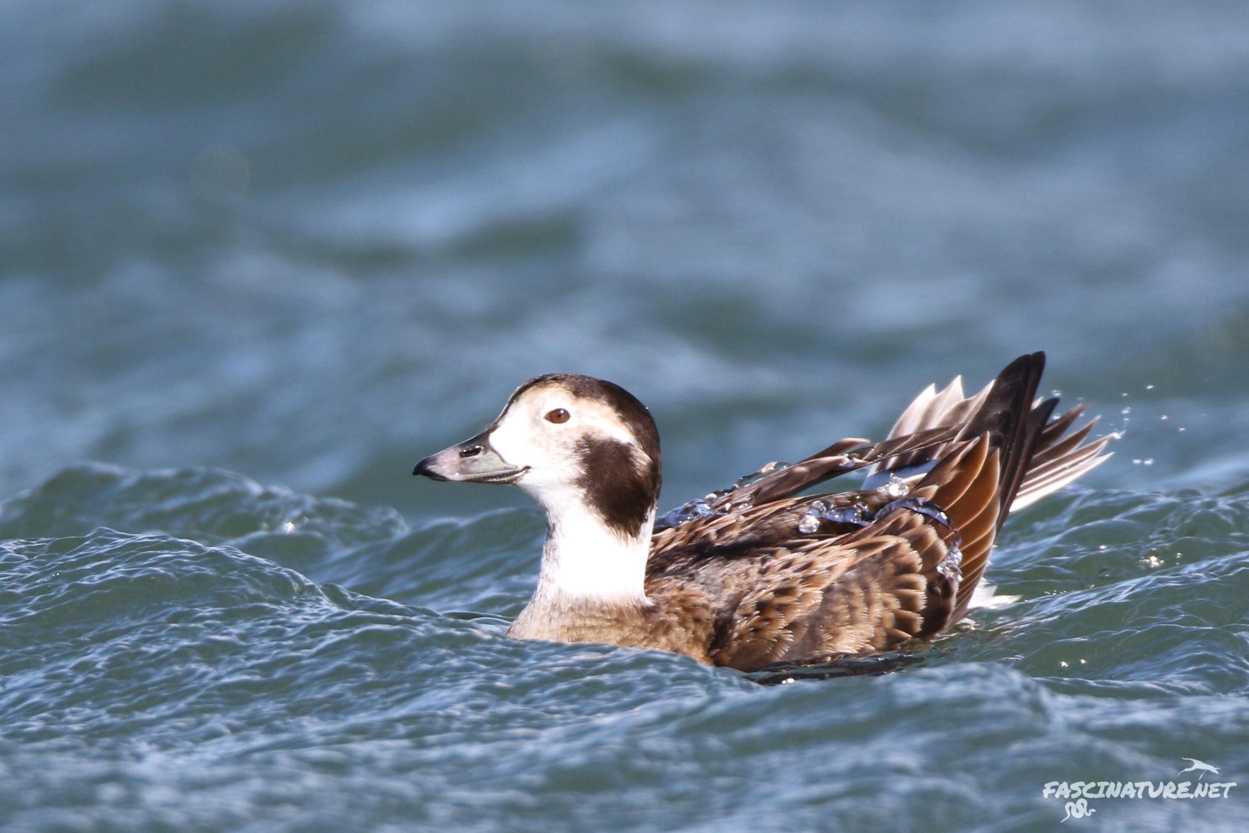 fascLong-tailed Duck (14).jpg
