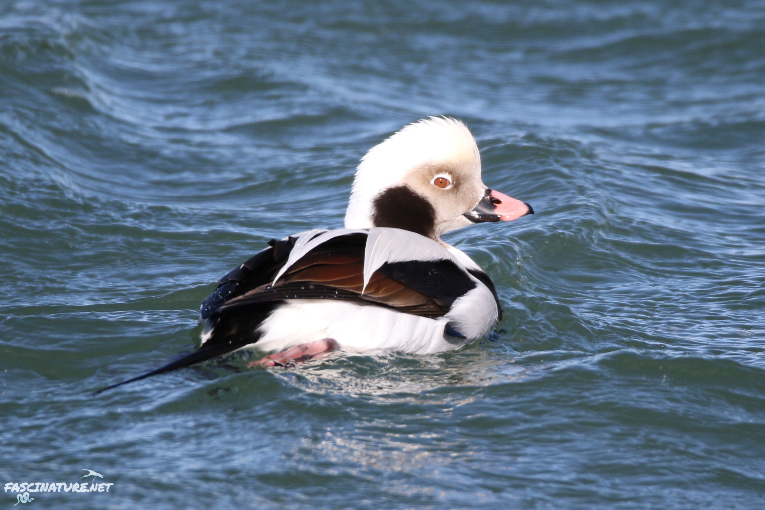 fascLong-tailed Duck (16).jpg
