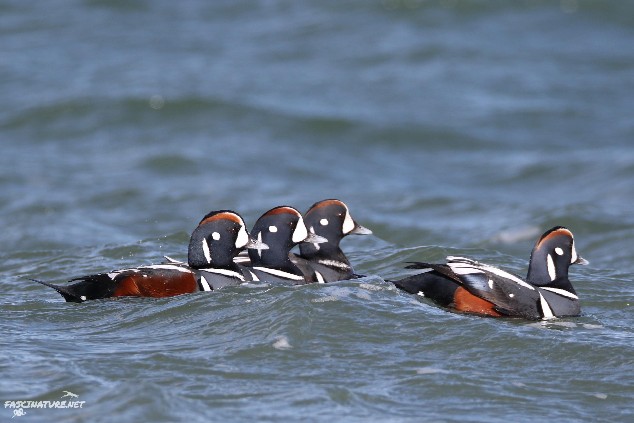 fascHarlequin Duck (3).jpg