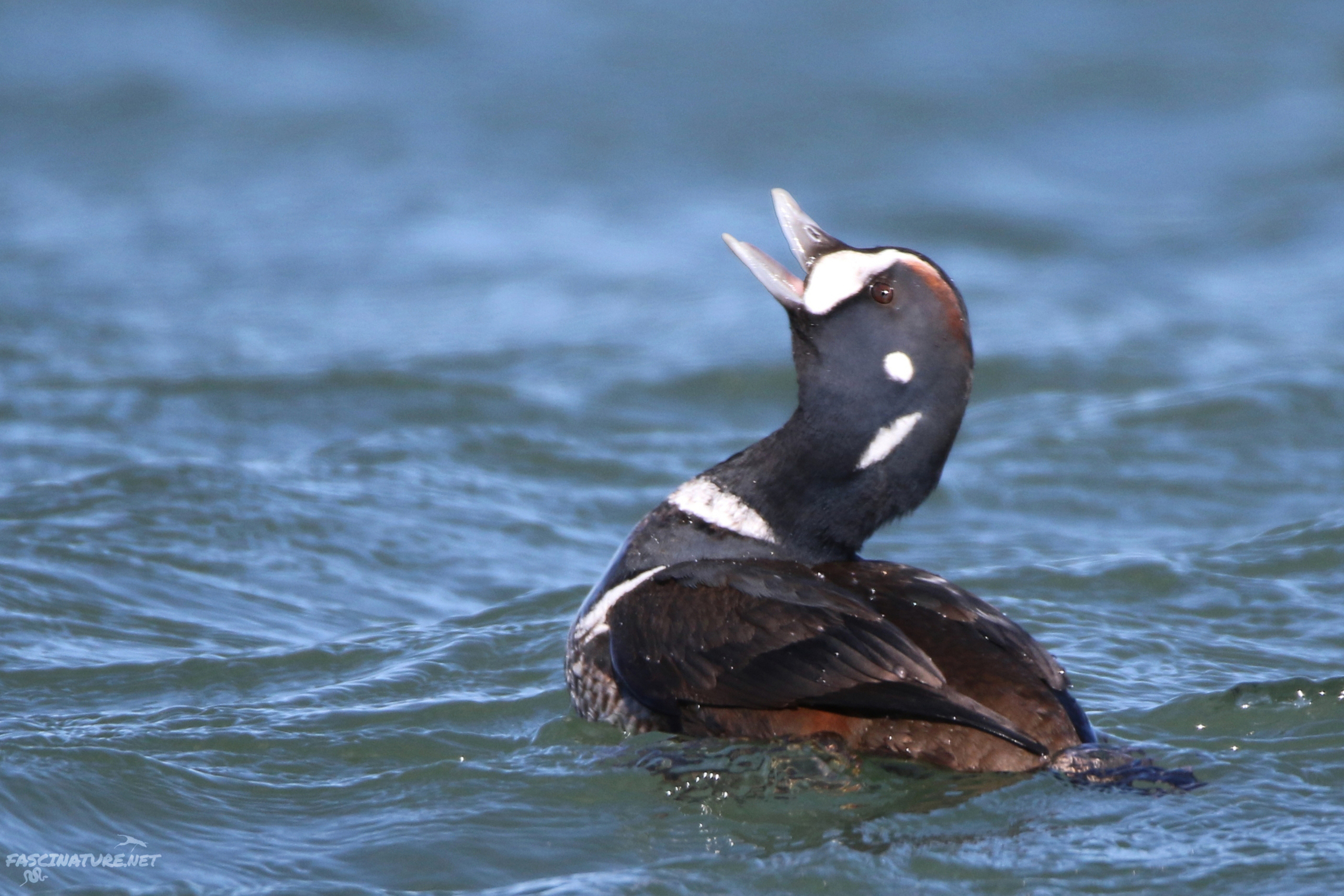 fascHarlequin Duck (15).jpg