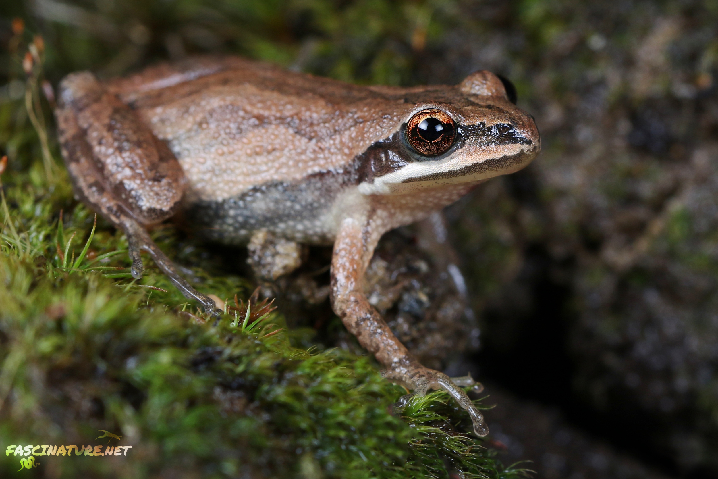 New Jersey Chorus Frog - New Castle, DE