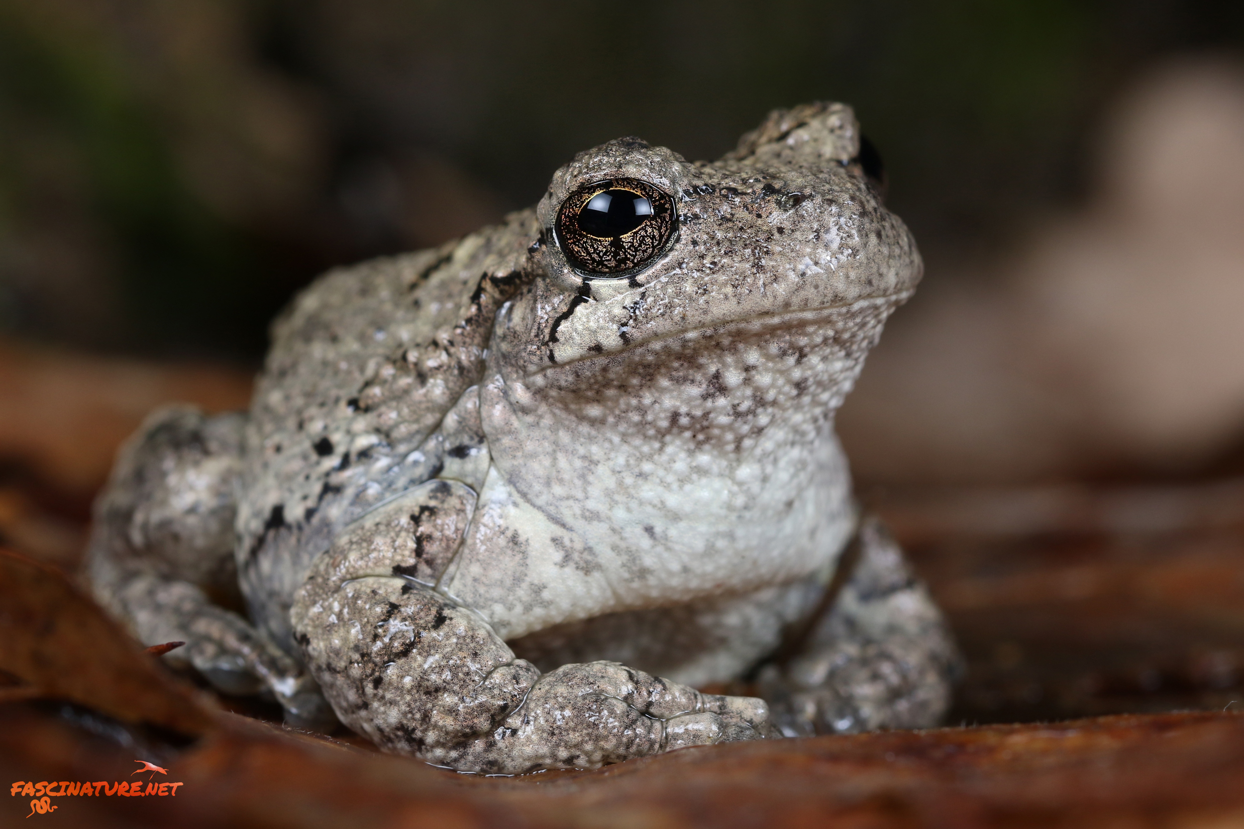 Cope's Treefrog (could be a Gray) - Kent, MD