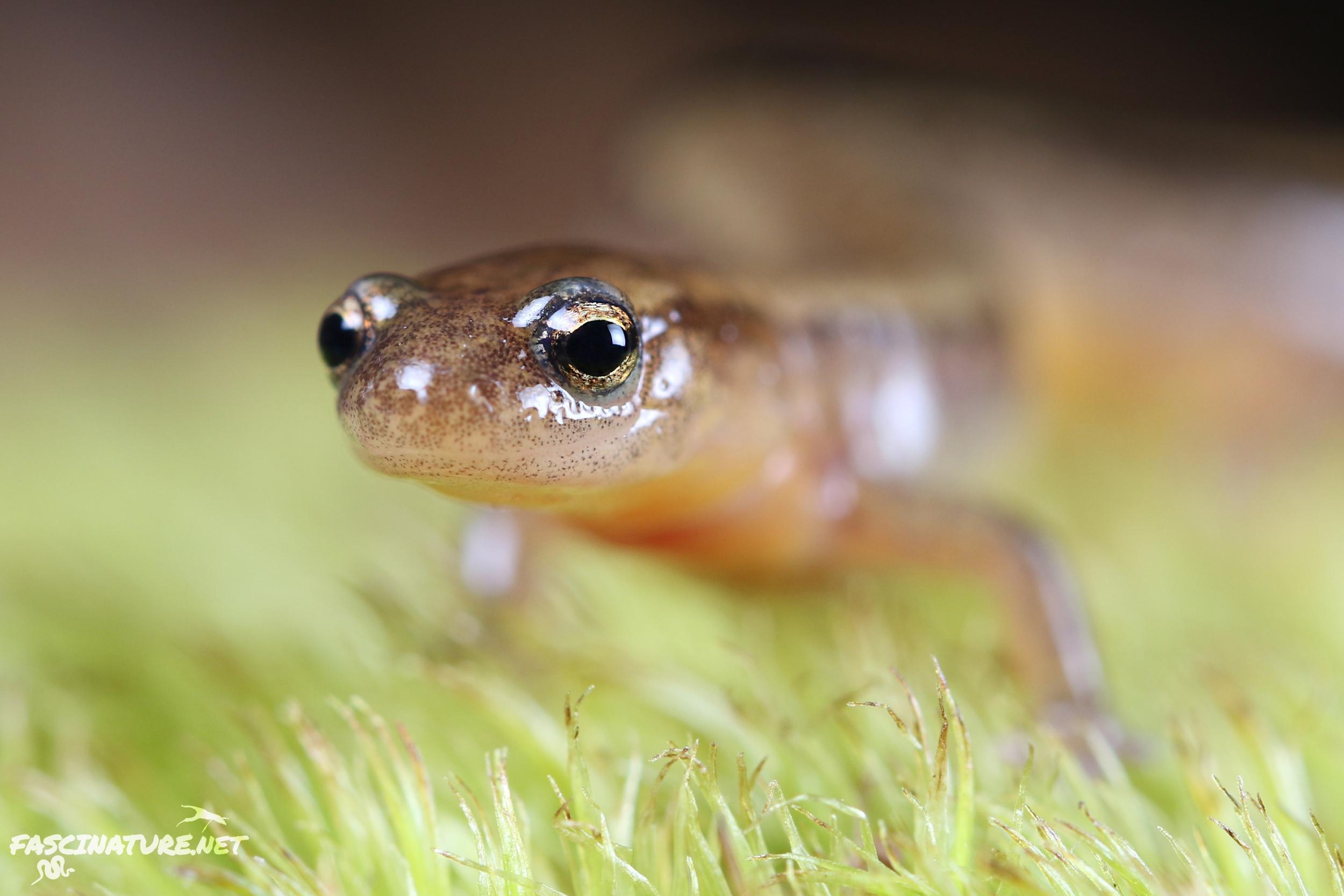 Northern Two-lined Salamander - Lebanon, PA