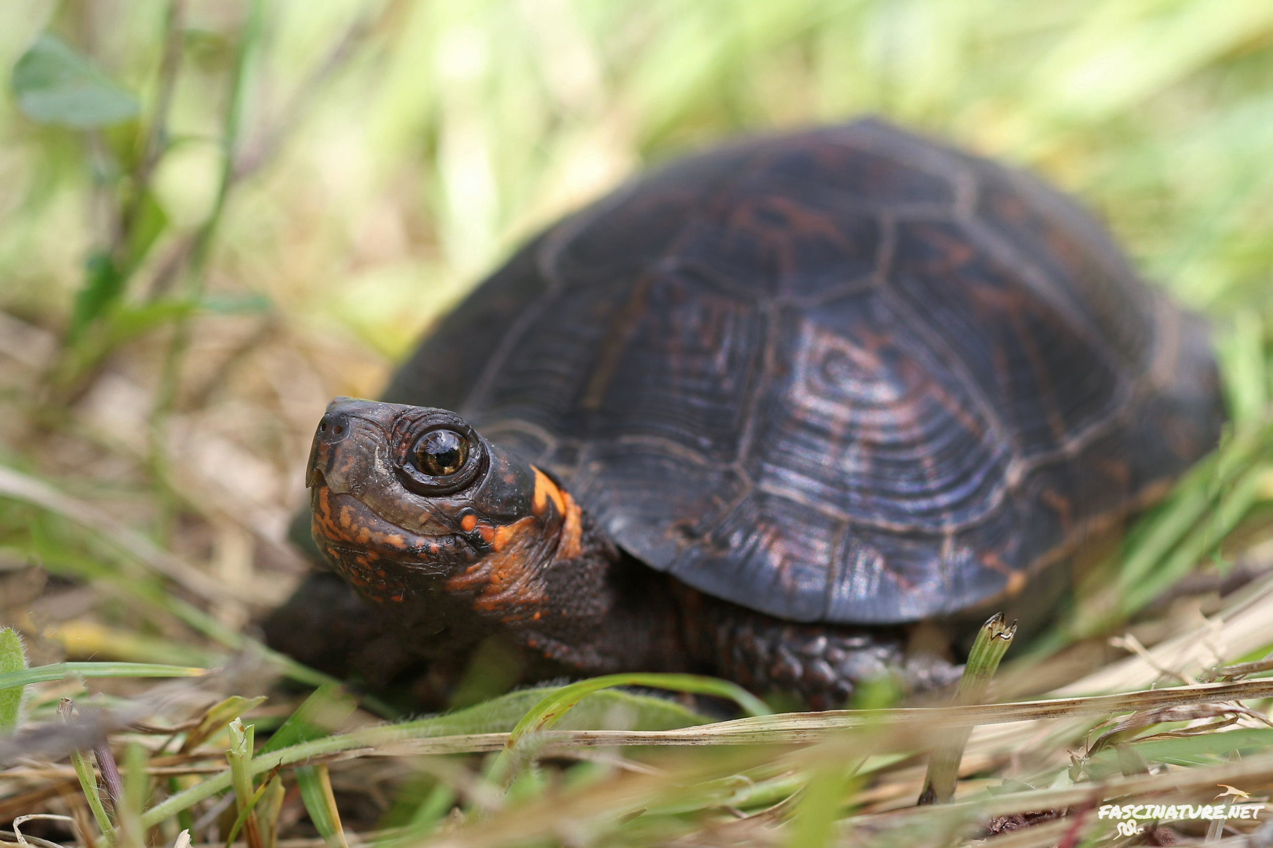 Featured in the Turtles of the Northeast