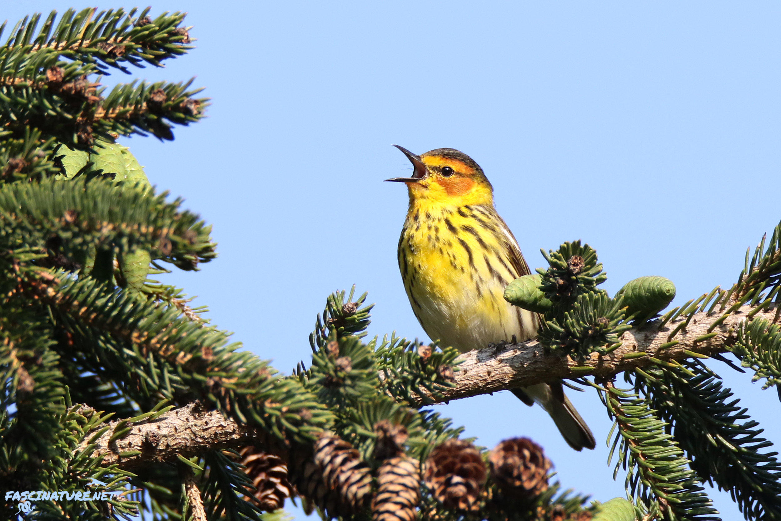 Featured in the Songbirds of the Northeast