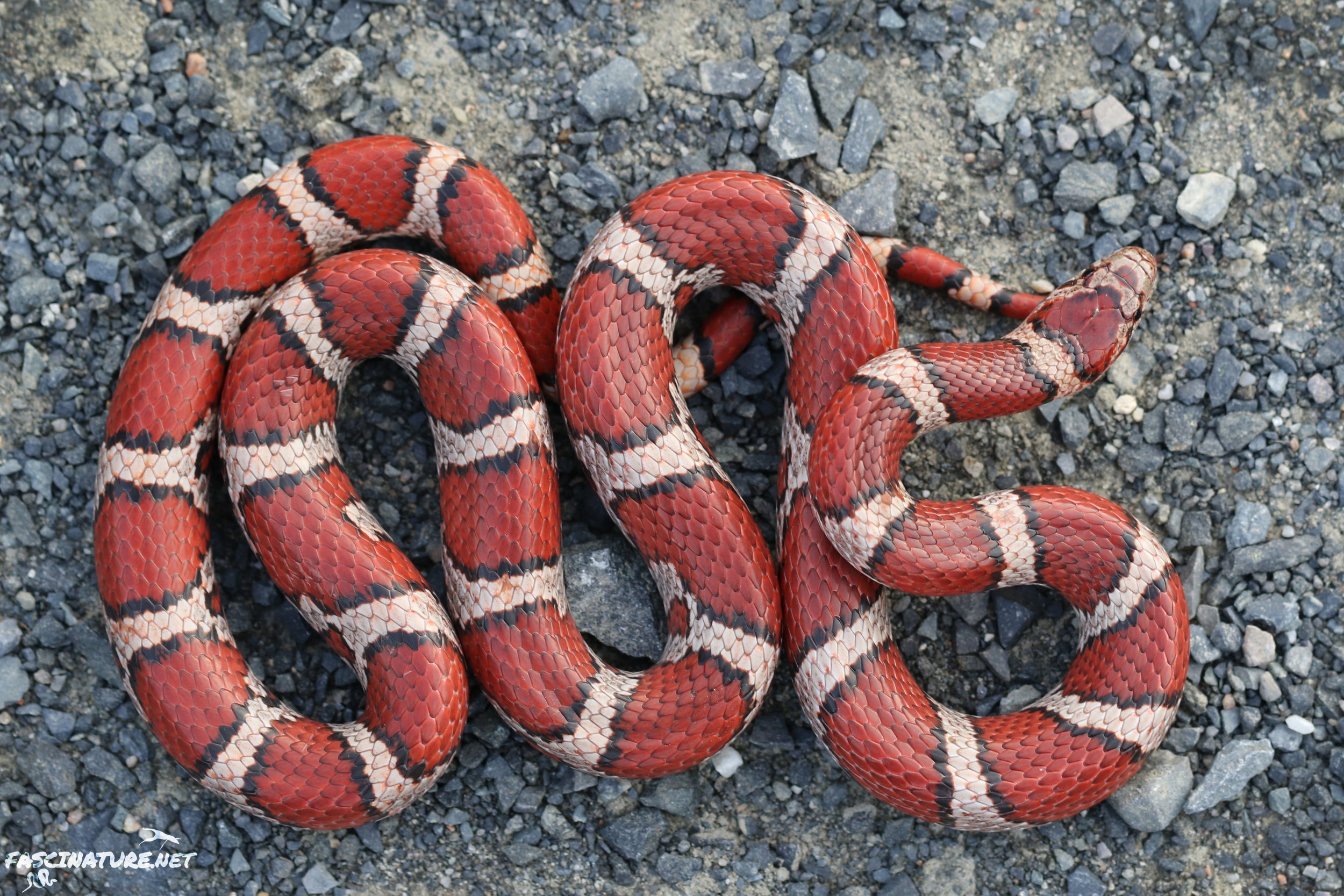 Featured in the Snakes of the NJ Pine Barrens
