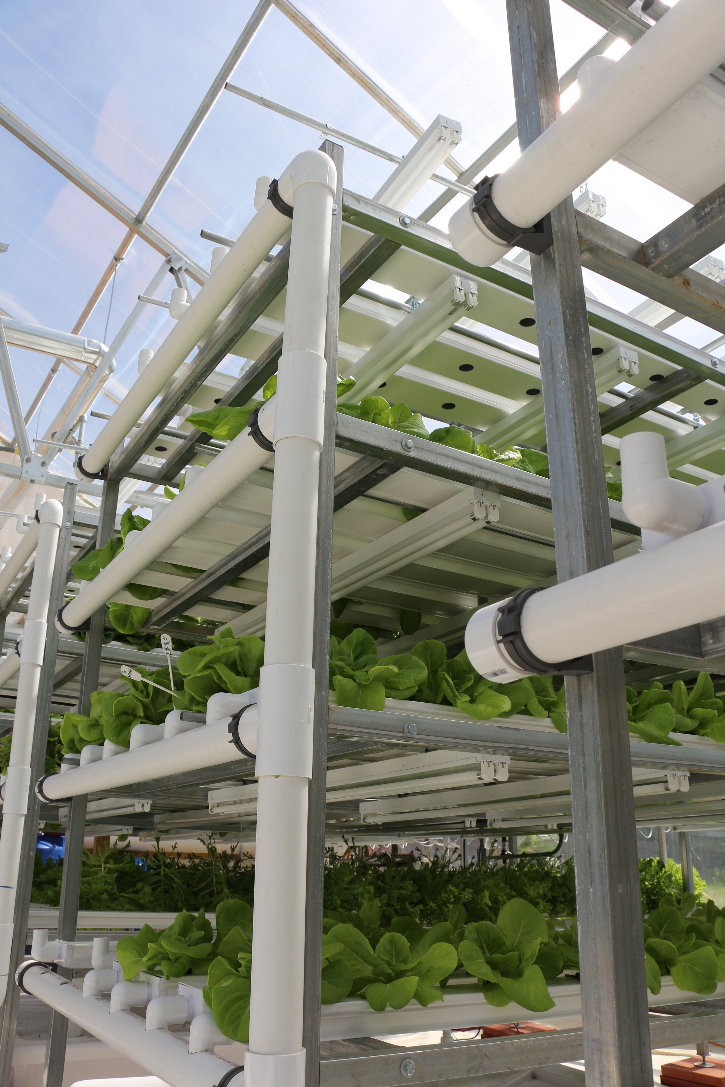 Photo taken of CEA Farms lettuce racks which are growing year round in our greenhouse!