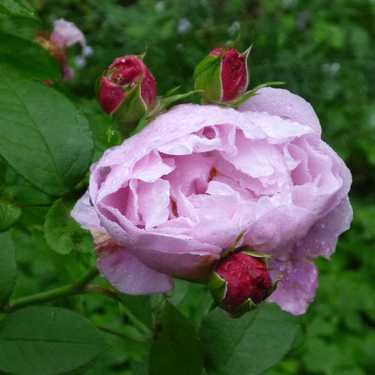 AriellaDaly_rose