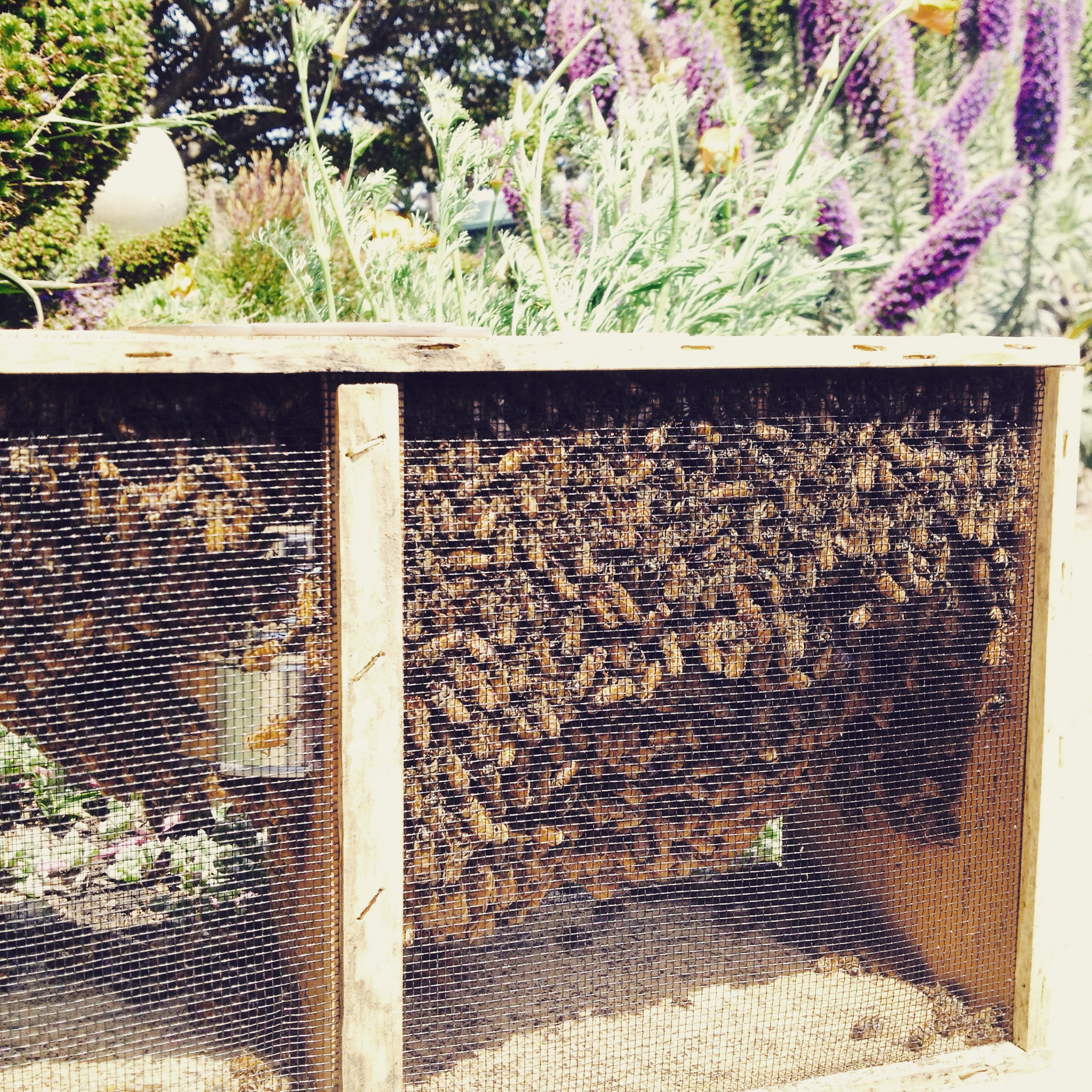 A package of bees from  Bee Kind  in Sebastopol, CA.
