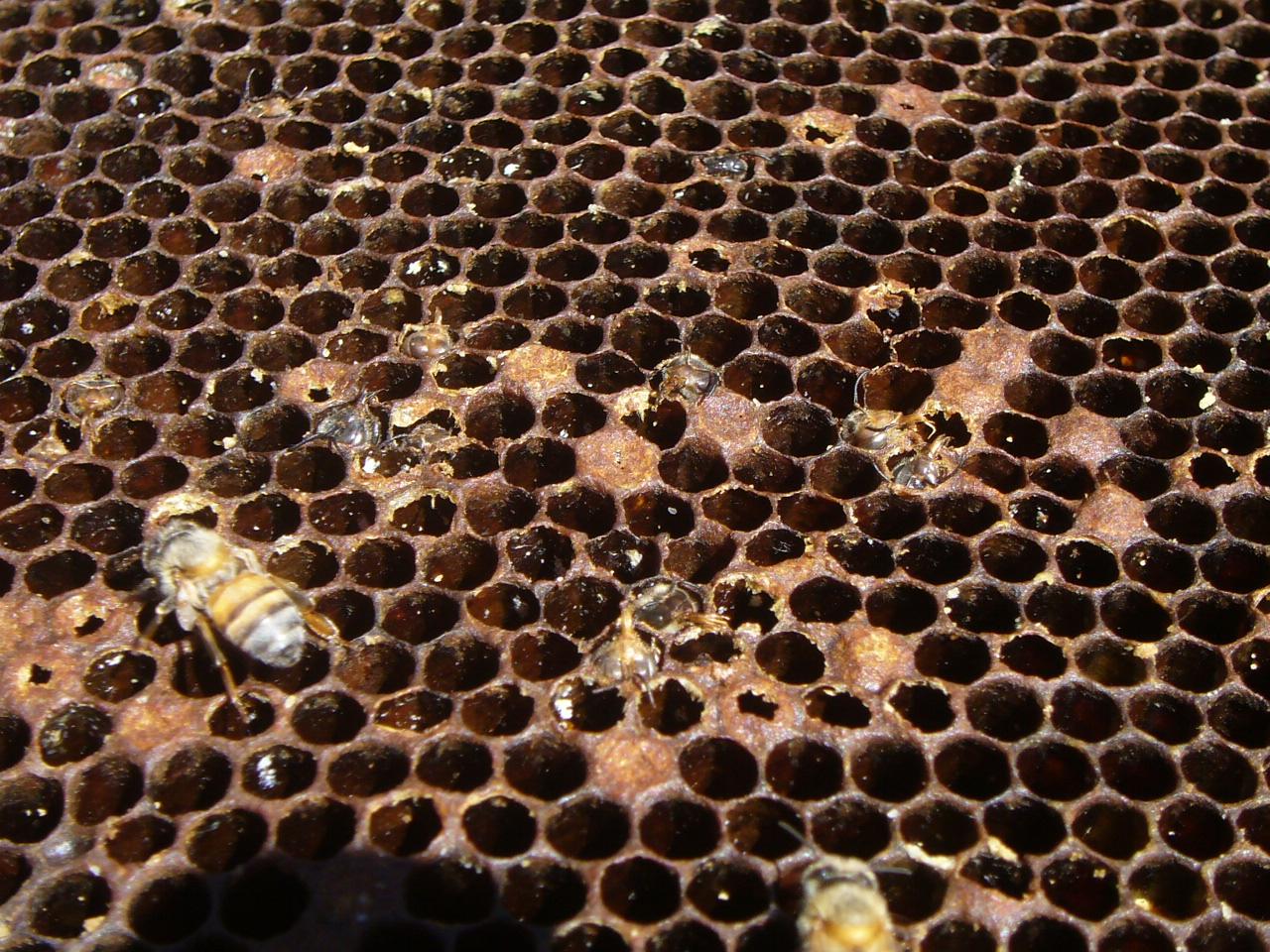 Evidence of varroa