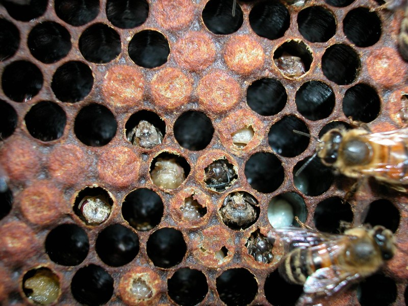 varroa-damaged-brood.jpg