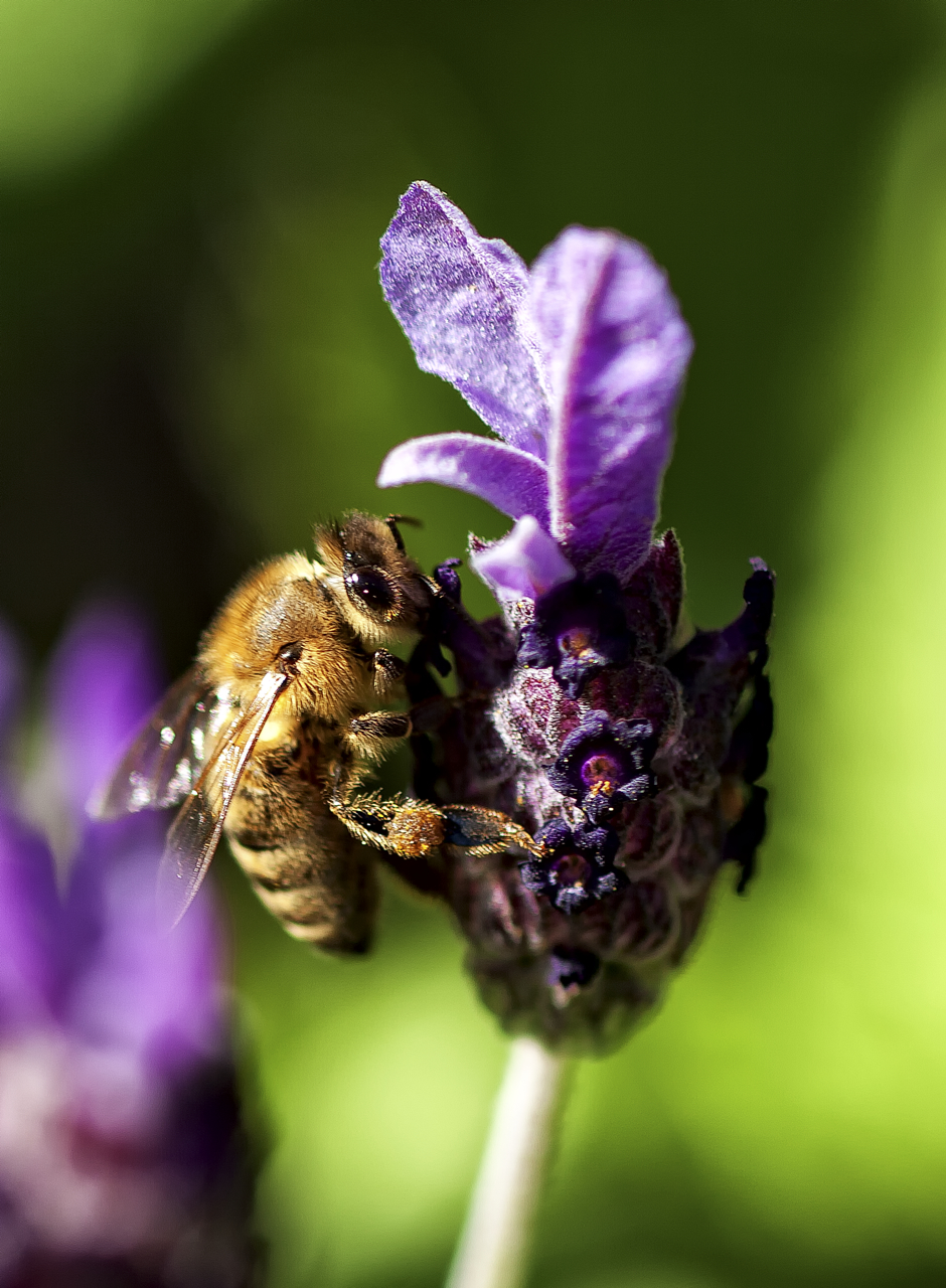Bee_lavender