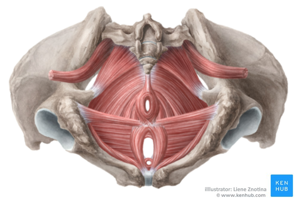 Exercises to strengthen pelvic floor   - Female pelvic floor muscles - Bottom view - Used with permission from ©Kenhub.com