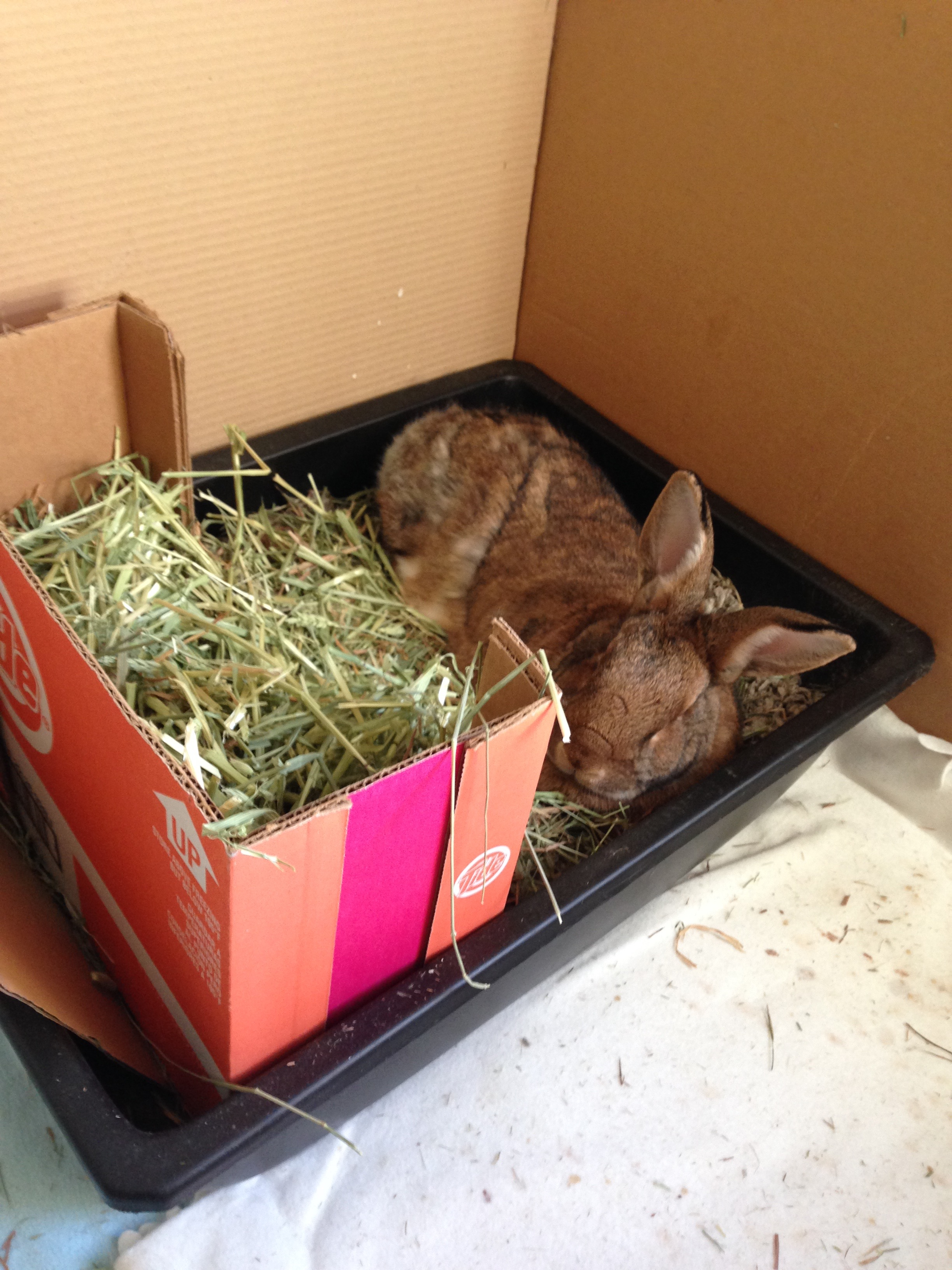 Example of litter box set up. Putting hay in the front helps them to want to use their box and maintain good habits. Some use natural paper bedding or wood pellets for the litter box part. Tiny Bunyah never relaxes in hims box, but this day, the clean paper bedding must have looked extra soft. :)  For the bigger bunnies, you can use a paint tray (as shown above).