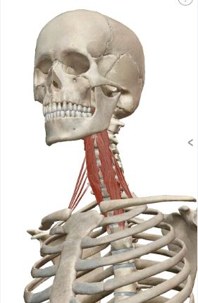 Longus Colli positioned in front of cervical and upper thoracic vertebrates