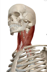 Sternocleidomastoid muscle connecting the bottom of the skull to the sternum and clavicle.