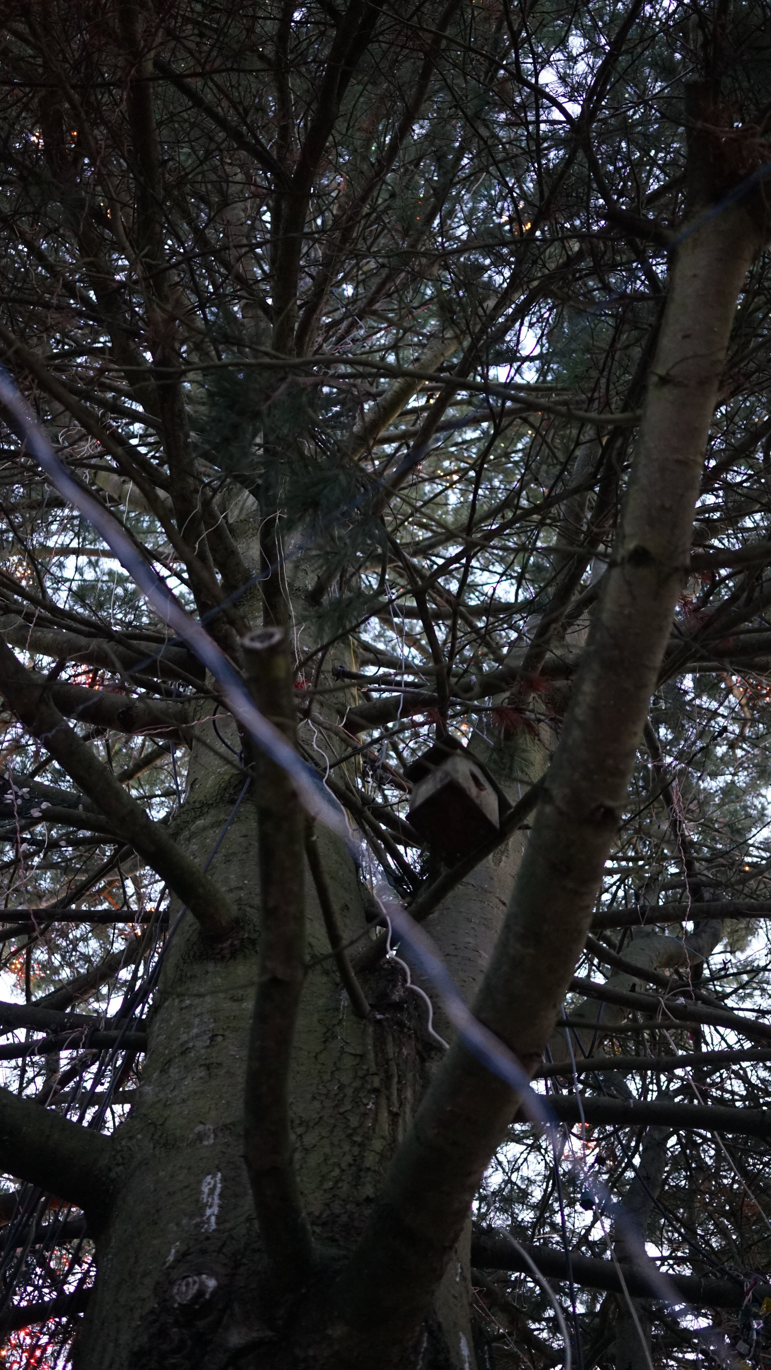 The tangle of tree limbs that is the Everett Christmas tree. Can you spot Danny?