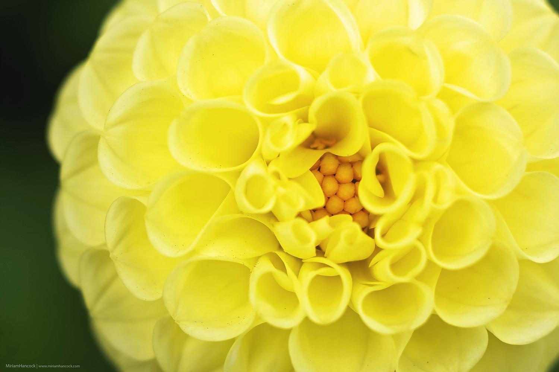 YellowDahlia