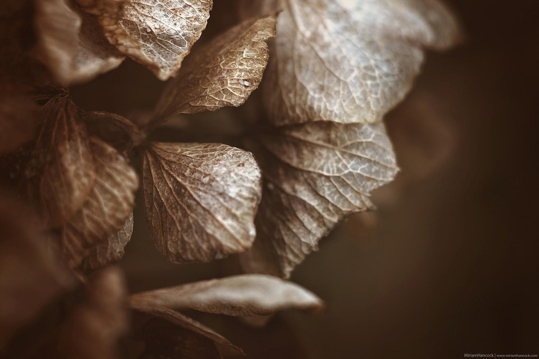 Brown Hydrangea Petals